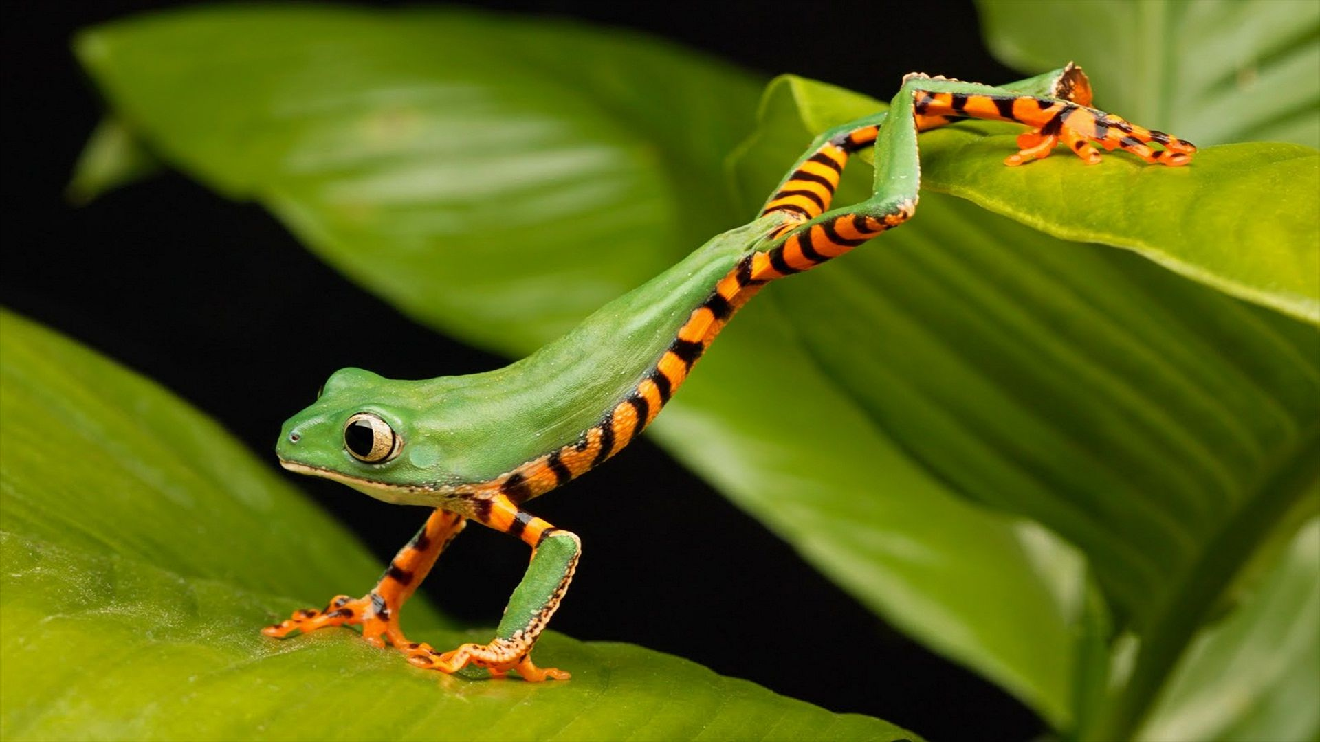 a long frog, green (horizontal)