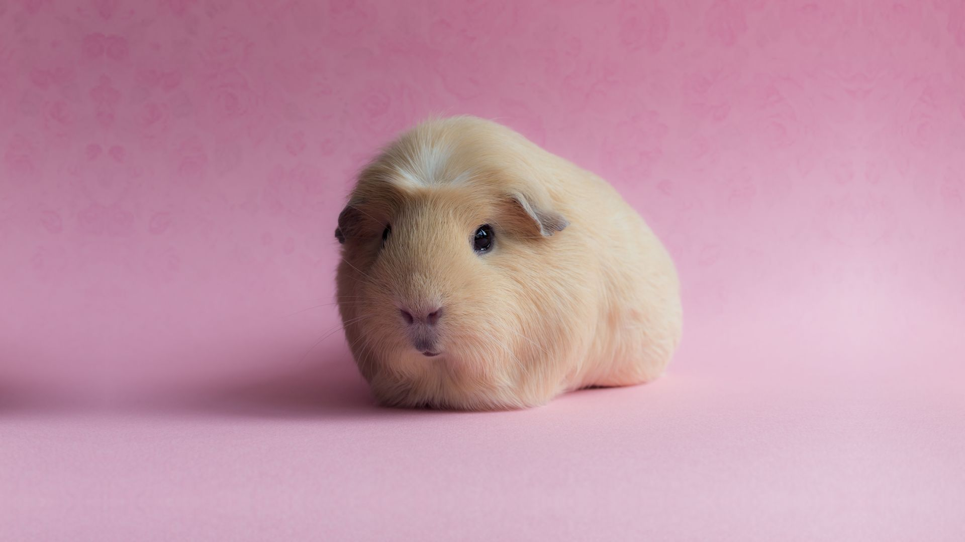 Guinea Pig, pink, funny animals (horizontal)
