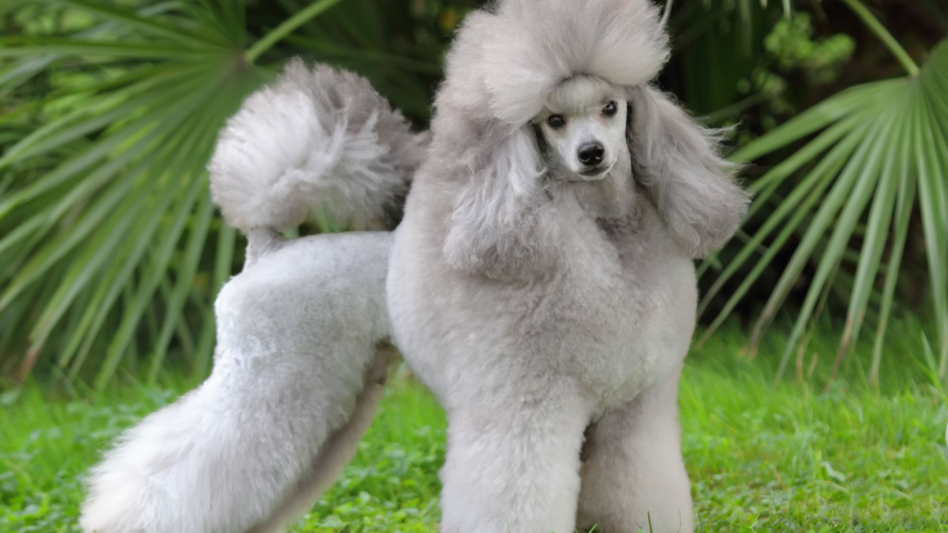 Poodle, grey, grass, cute animals (horizontal)