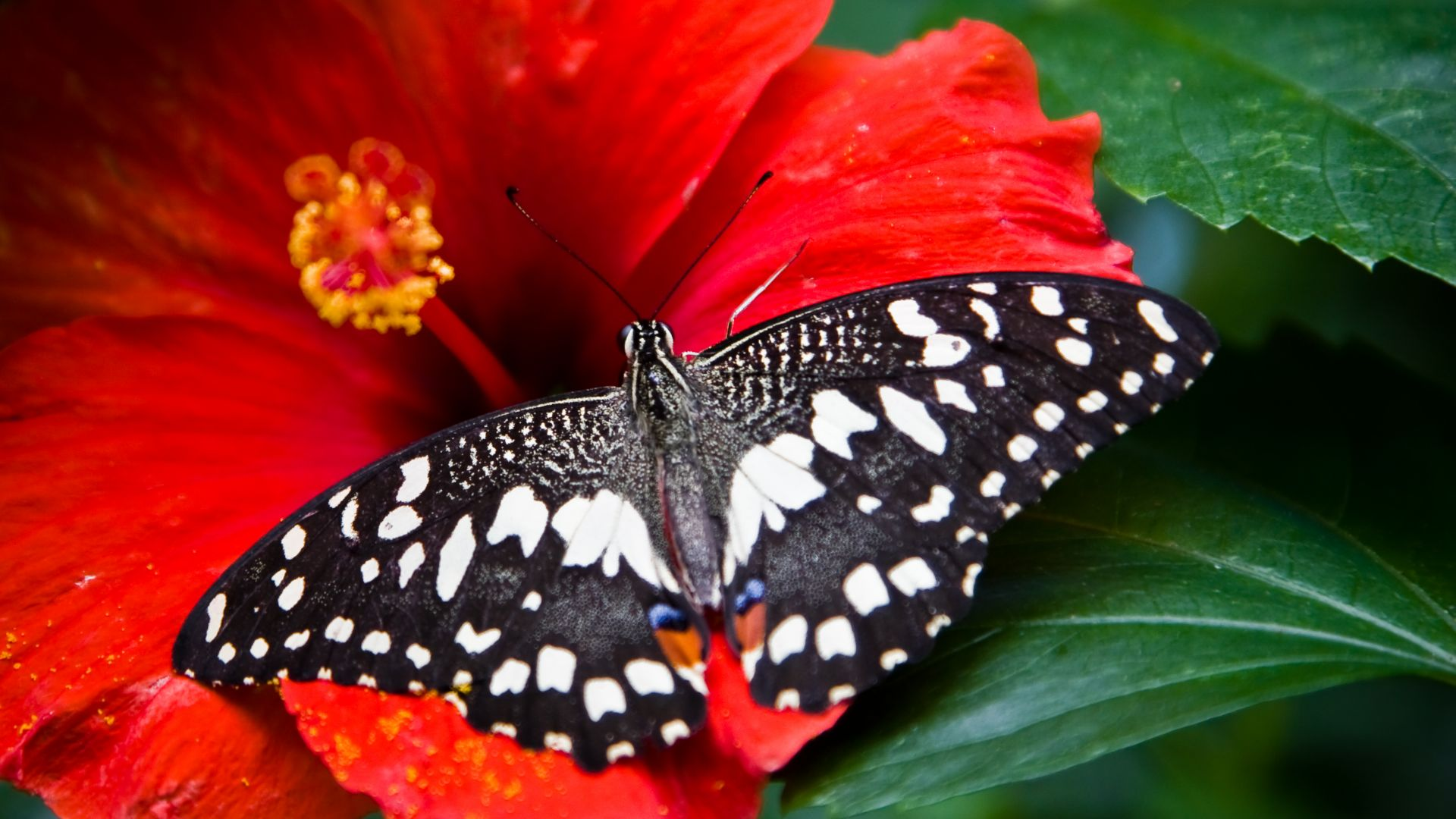 Butterfly, black-white, insects, flowers, Glass, nature, garden (horizontal)