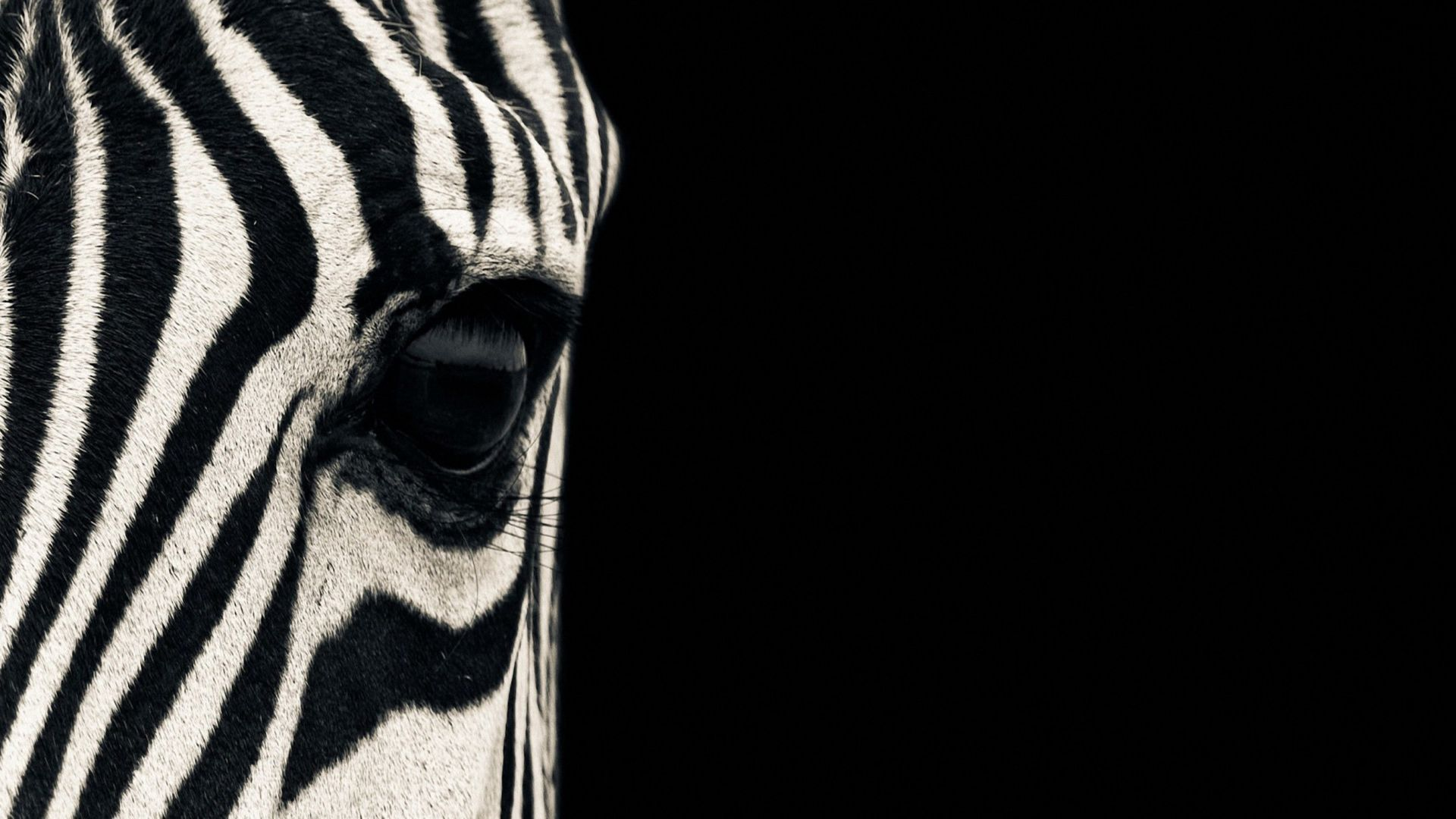 Zebra, eye, Black & White, couple, cute animals (horizontal)