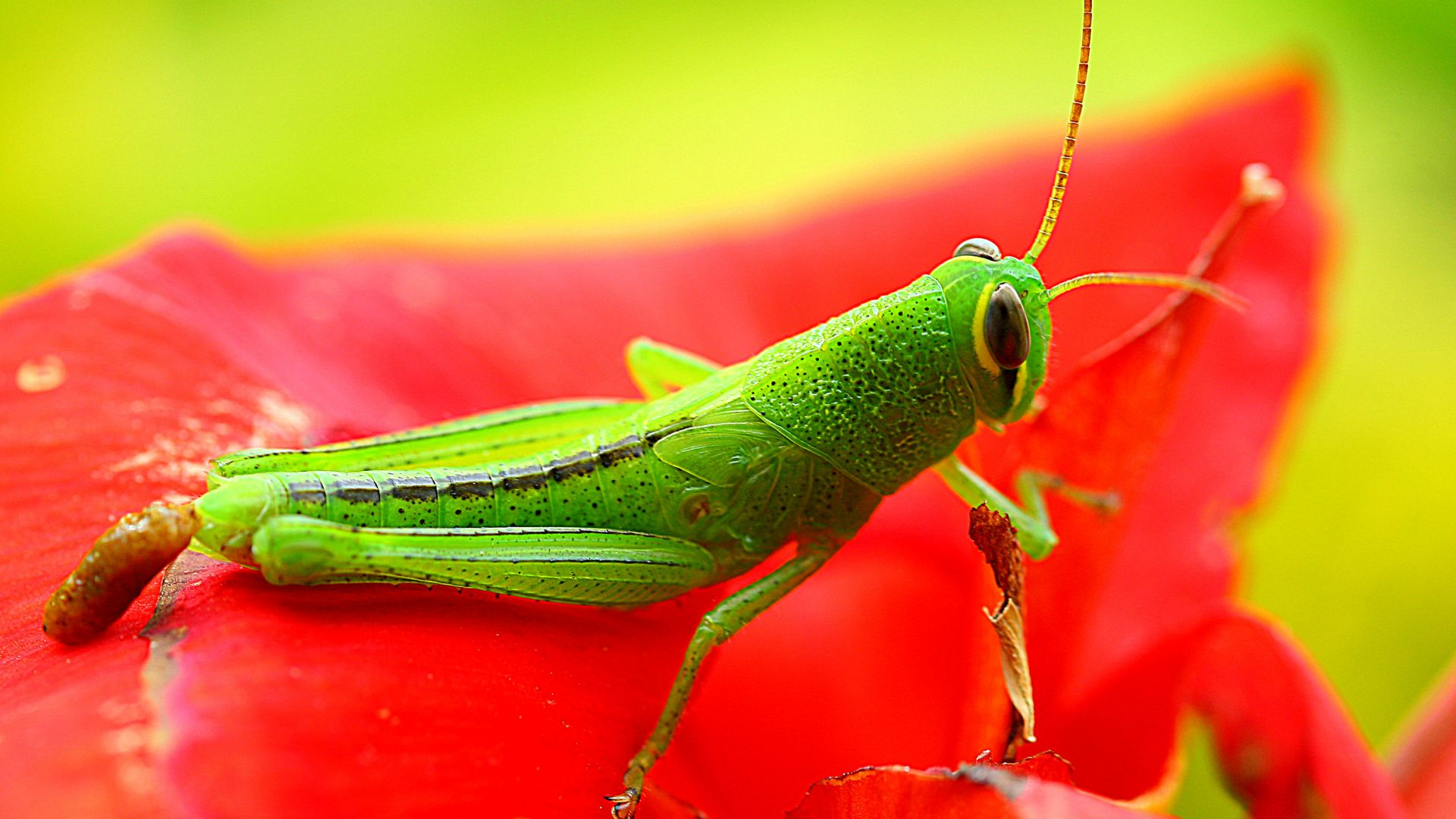grasshopper, grig, green, flower, red, insects (horizontal)