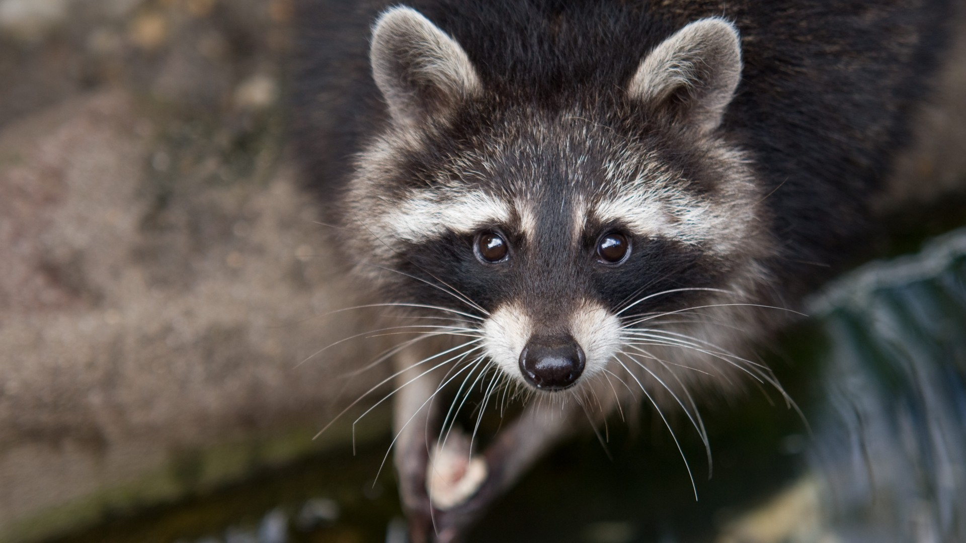 raccoon, eyes, look, fur, close-up, nature, animal (horizontal)