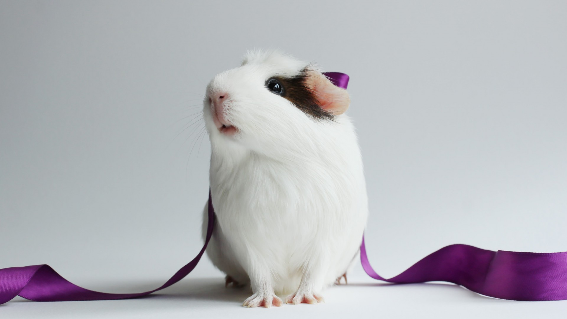 hamster, cute hamster, white, close-up, purple, ribbon, white background (horizontal)
