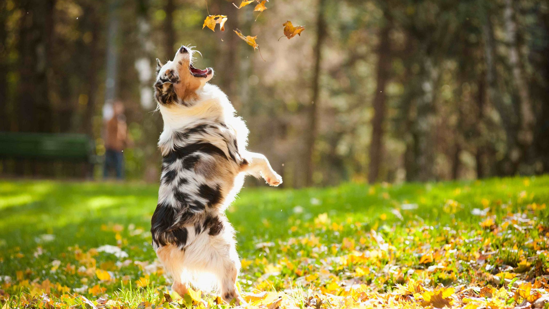 Dog, puppy, jumping, leaves, autumn, pet, green grass, park (horizontal)