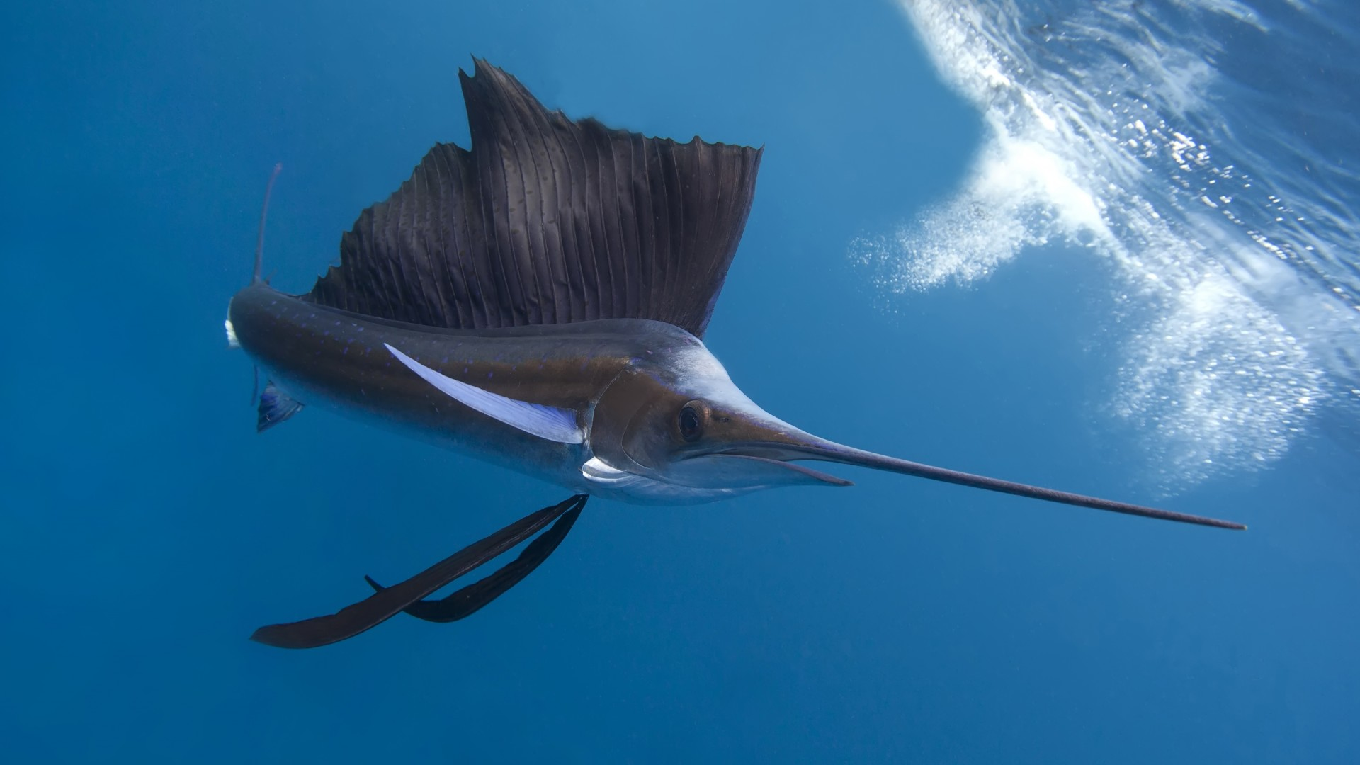 Pacific sailfish, Thailand, Indian ocean, Pacific ocean, tropical regions, diving, tourism, blue sea, fish, diving, tourism, World's best diving sites (horizontal)