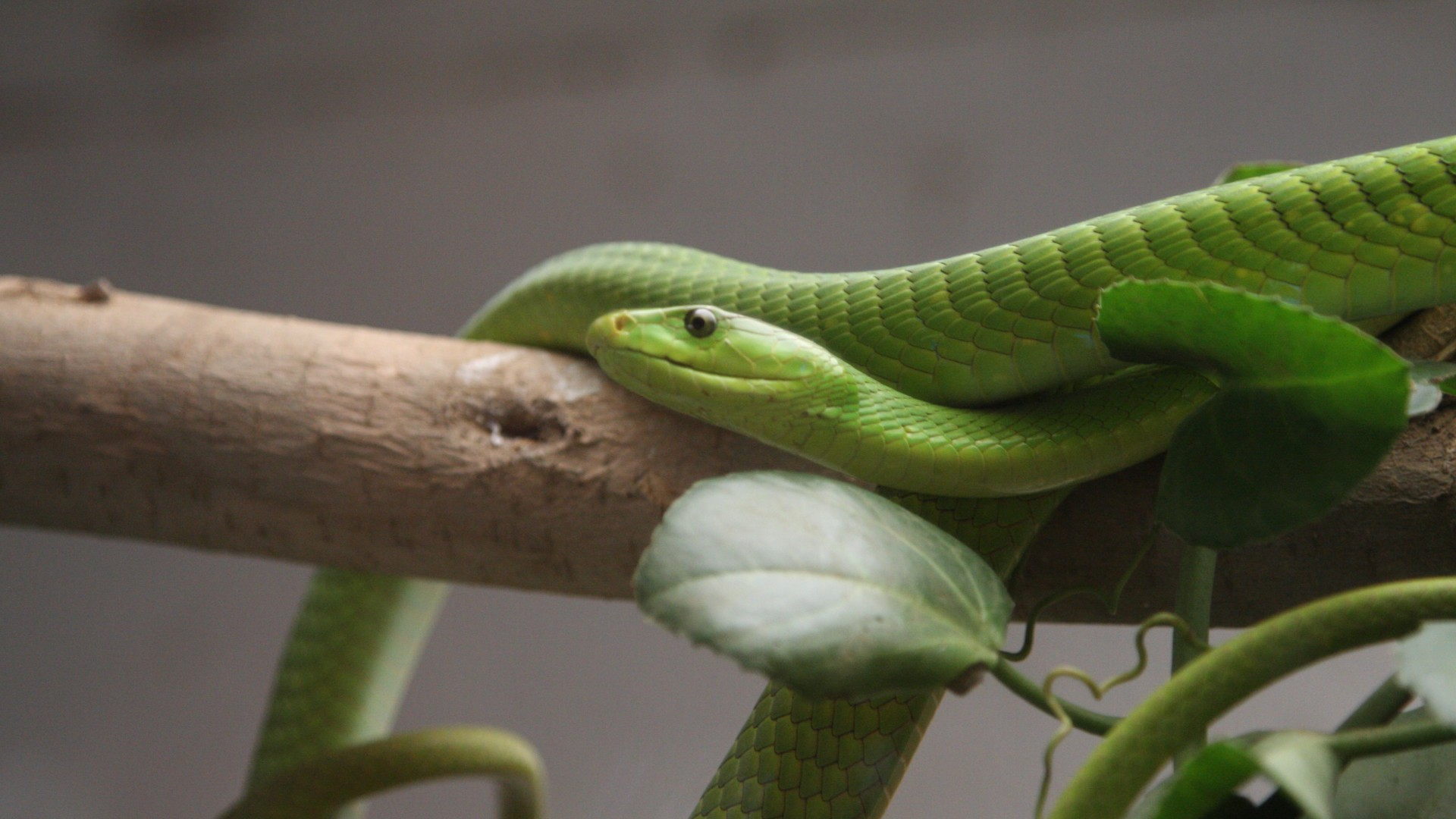 Green mamba, snake, leaves, New Orlean, LA, USA, zoo, travel, tourism, tree (horizontal)