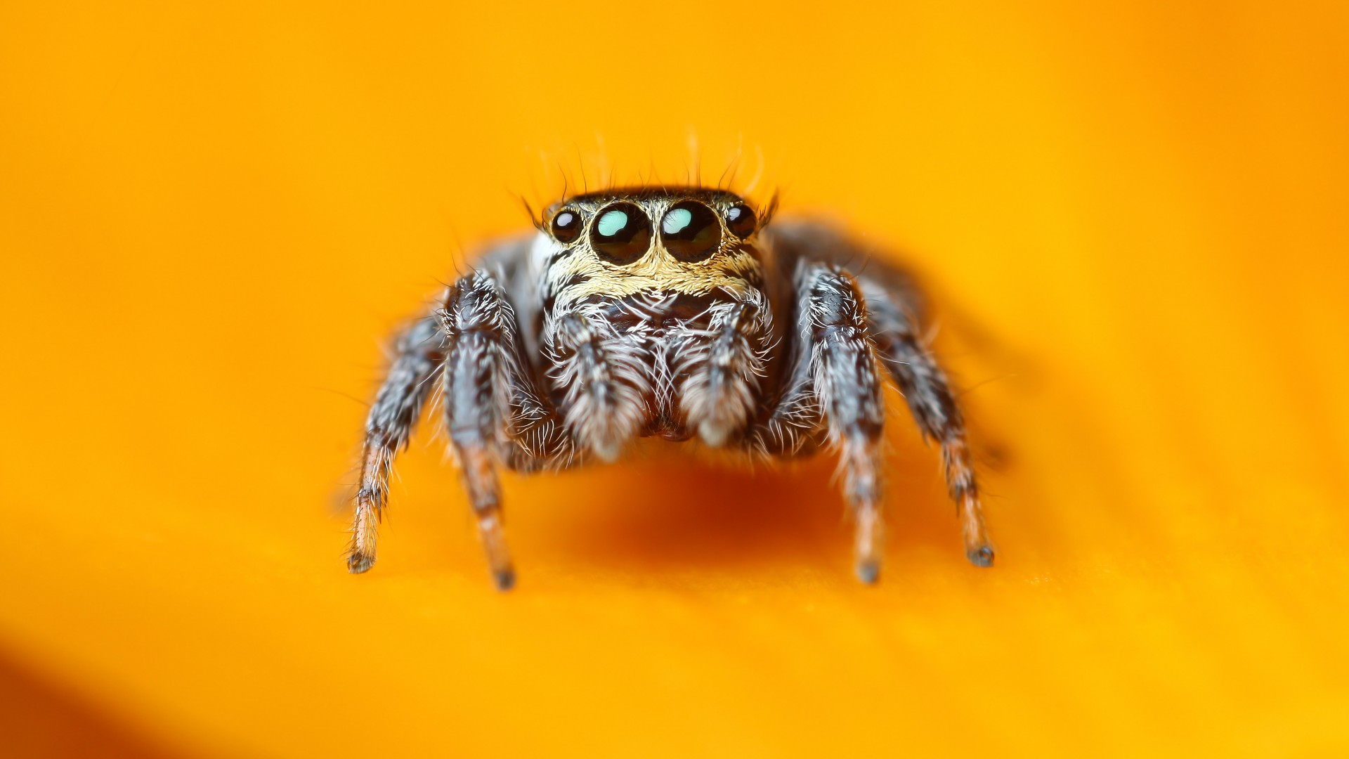 Jumping Spider, 5k, 4k wallpaper, macro, black, eyes, yellow, insects, arachnid, cute (horizontal)