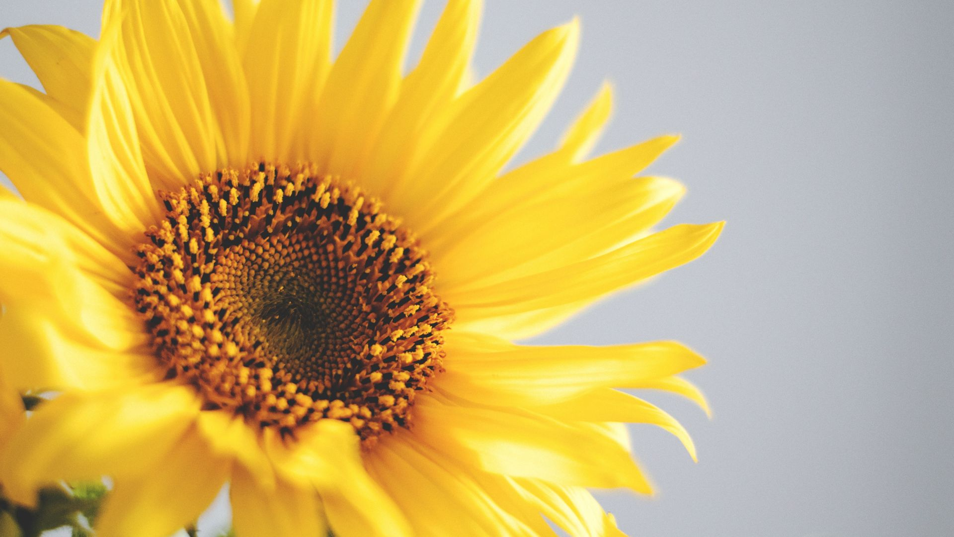 sunflower, 5k, 4k wallpaper, yellow (horizontal)