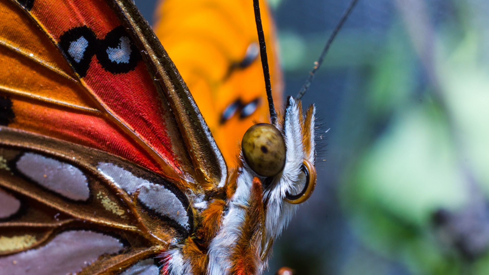 Butterfly, colorful, macro, insects, red, wings, eyes (horizontal)