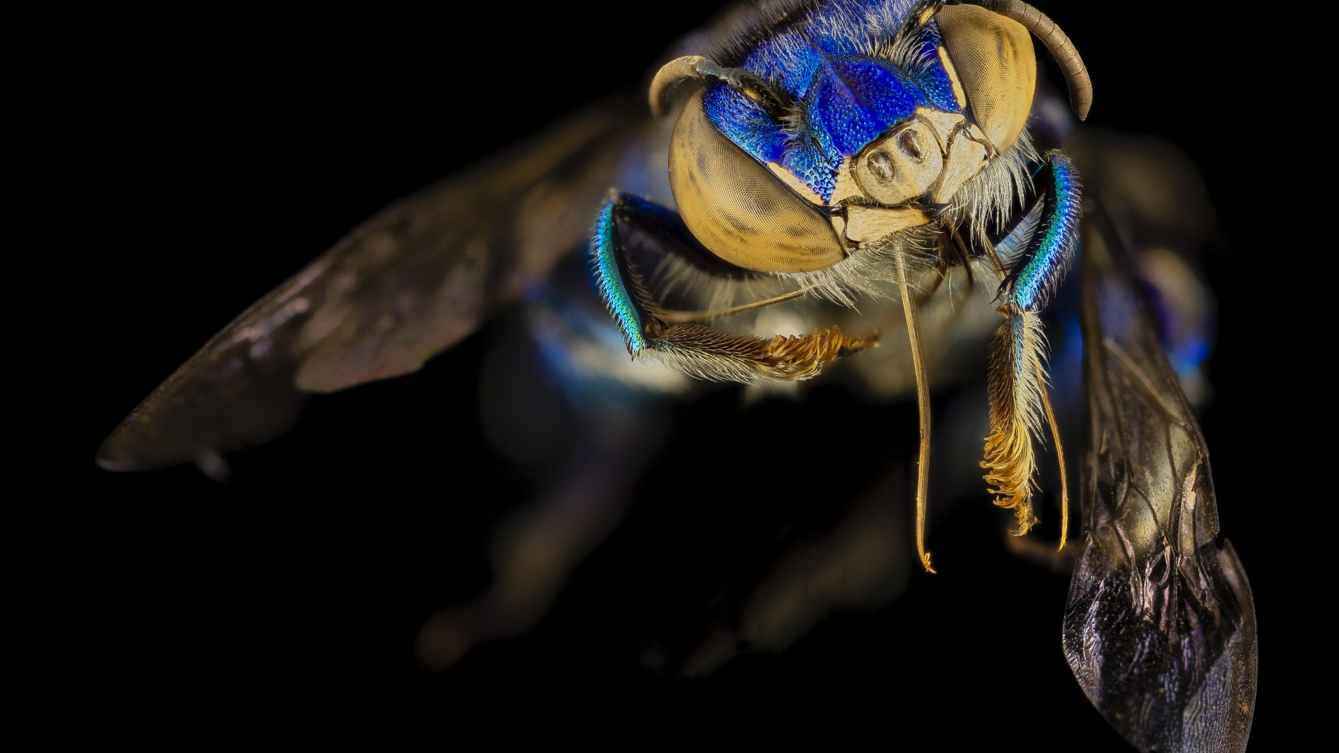 Euglossa Orchid Bee, Mexico, Argentina, macro, blue, green, insects, black background (horizontal)