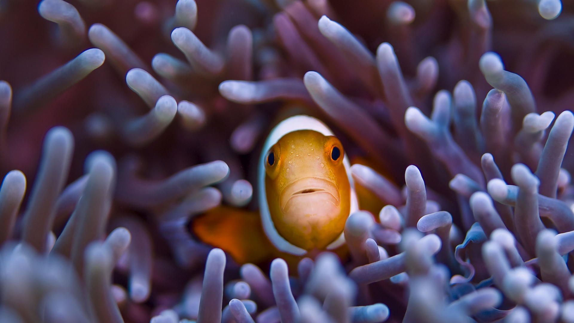 Clownfish, 5k, 4k wallpaper, Gili, Island, Bali, indian, pacific, underwater, diving, tourism, orange, sealife, sea, ocean, World's best diving sites (horizontal)