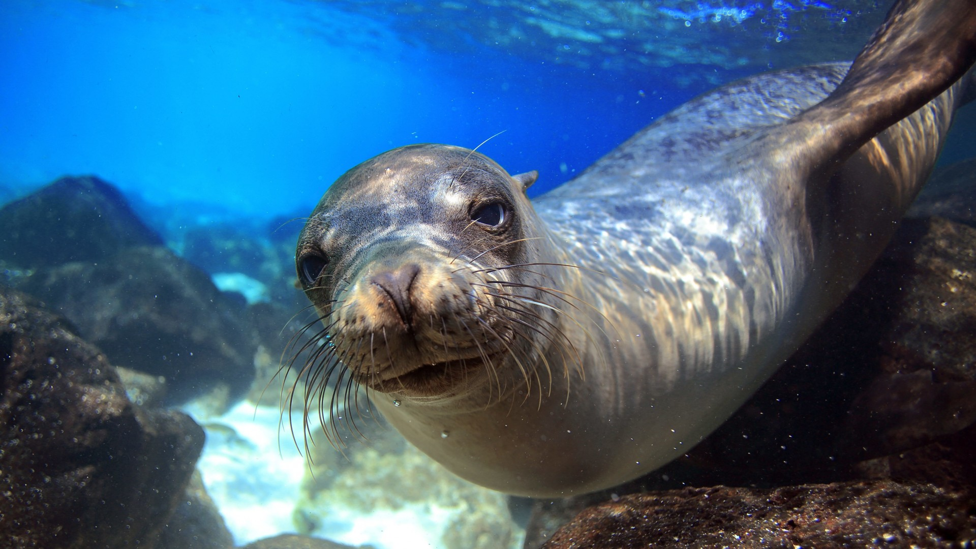 Sea Lion, Galapagos, island, Ecuador, underwater, close-up, diving, tourism, bottom, blue, animal, World's best diving sites (horizontal)
