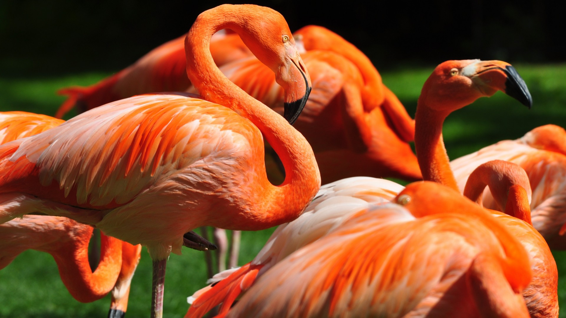 Flamingo, Sun Diego, zoo, bird, red, plumage, tourism, green grass, tourism (horizontal)