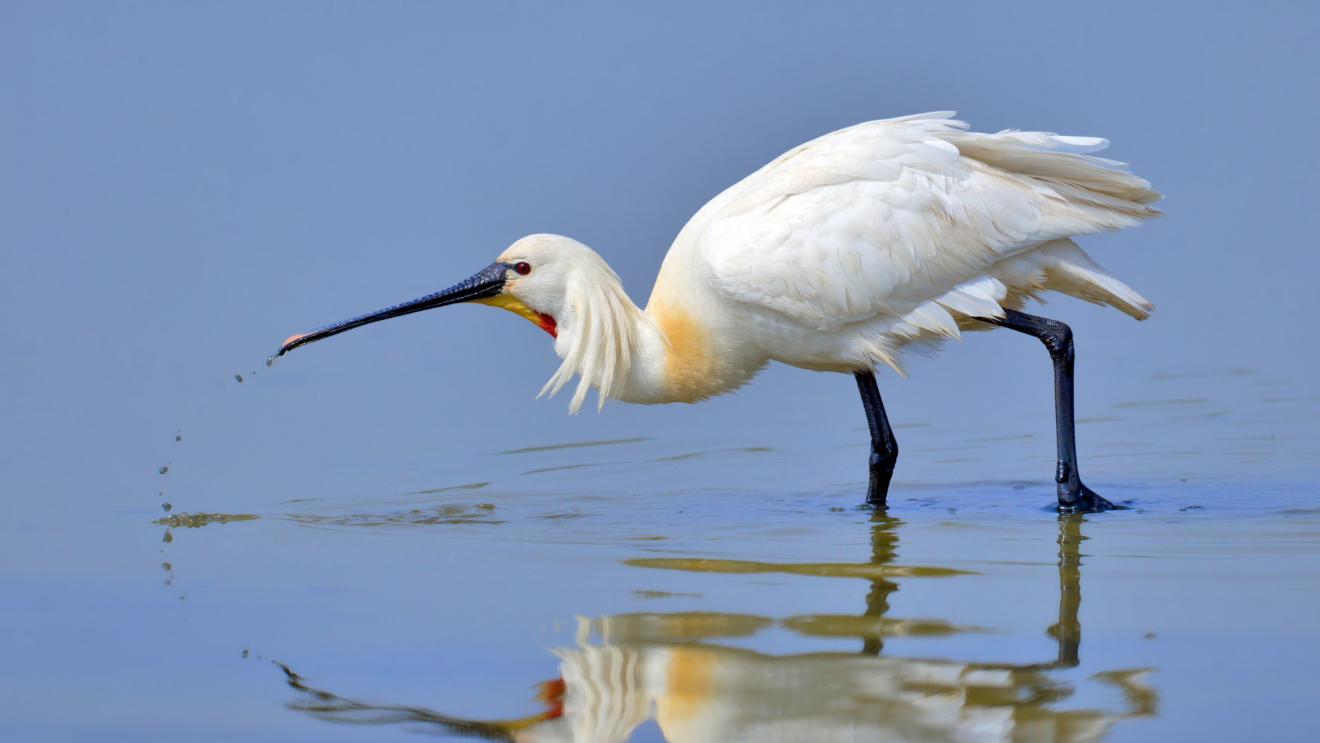 Eurasian spoonbill, 5k, 4k wallpaper, Japan, North Africa, bird, white, animal, nature, water, lake, reflection (horizontal)