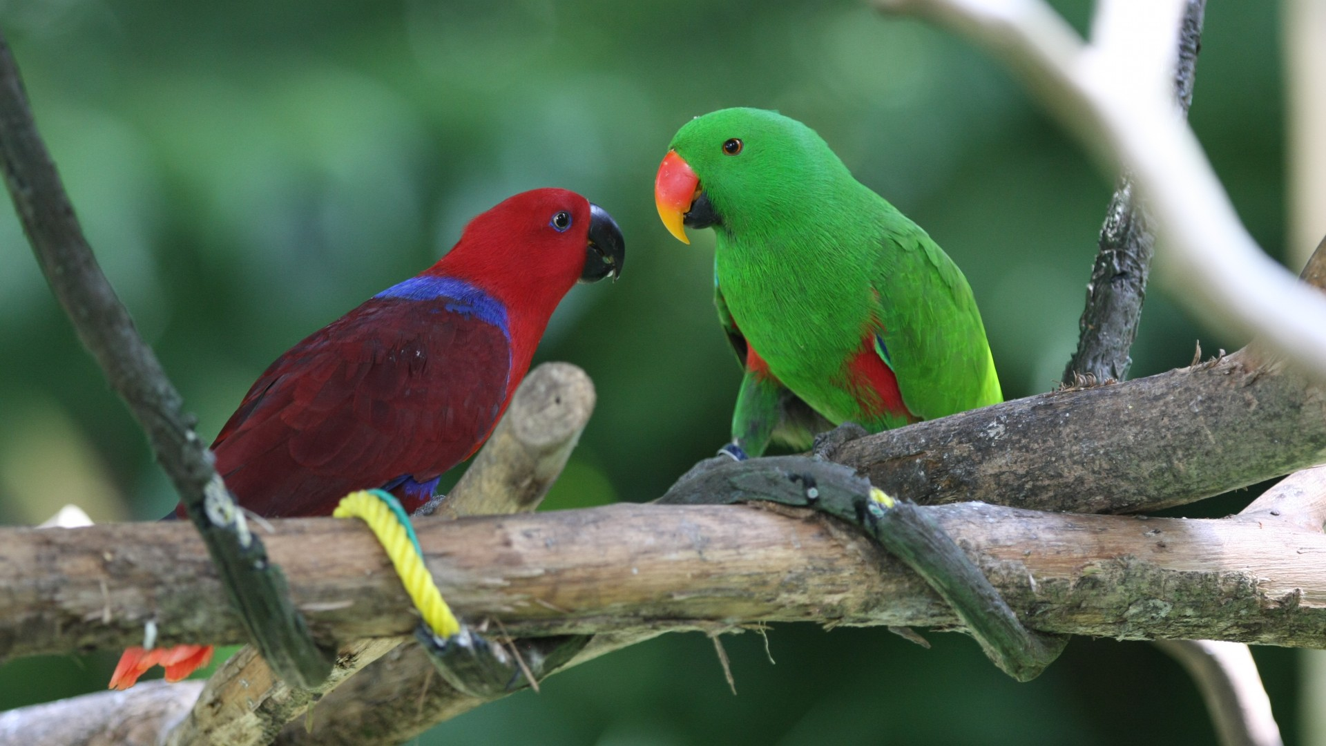 Amazon parrot, Antilles island, bird, green, red, nature, tourism, branch, animal (horizontal)