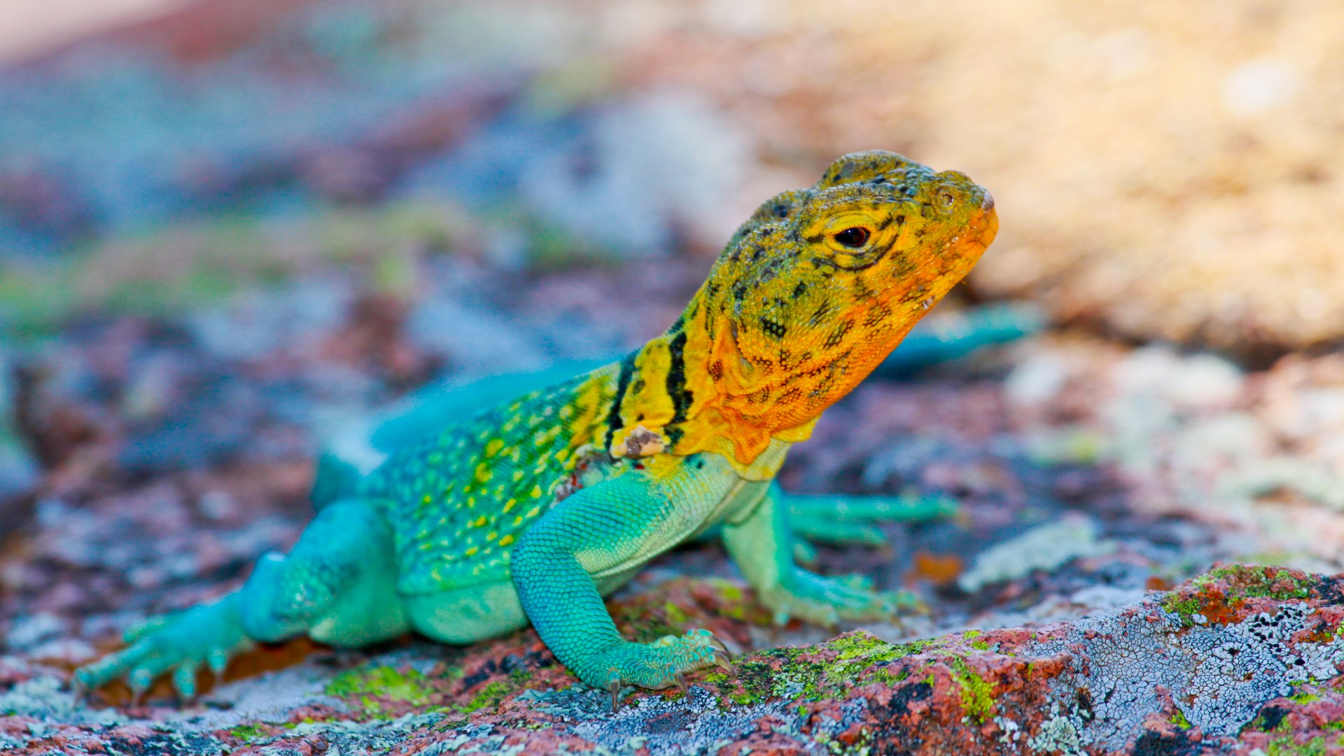 Crotaphytus collaris, Mexico, Lizard, colorful, stone, nature, tourism (horizontal)