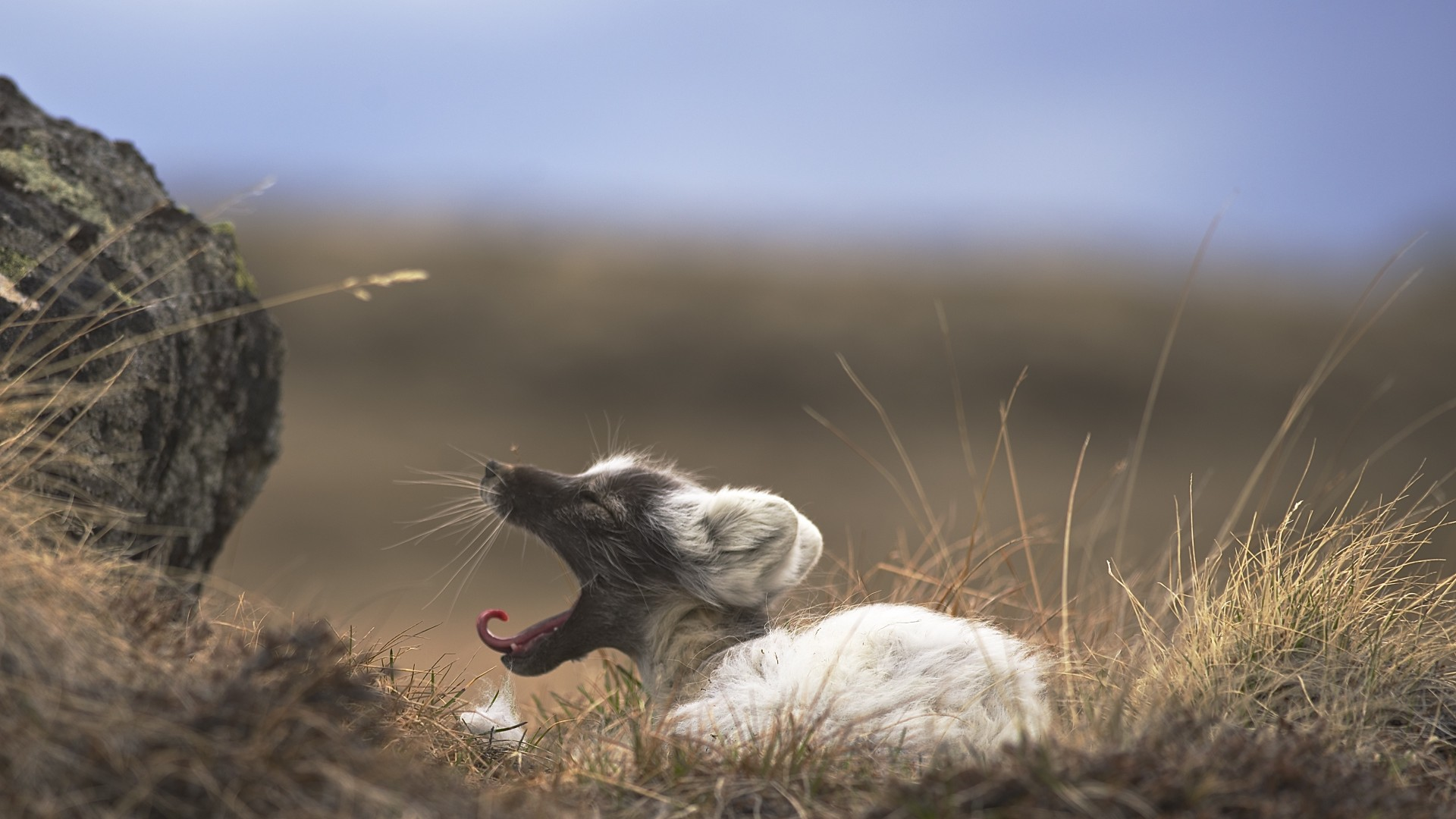 Arctic fox, West Greenland, animal, nature, grey, brown, white, rest, tourism (horizontal)