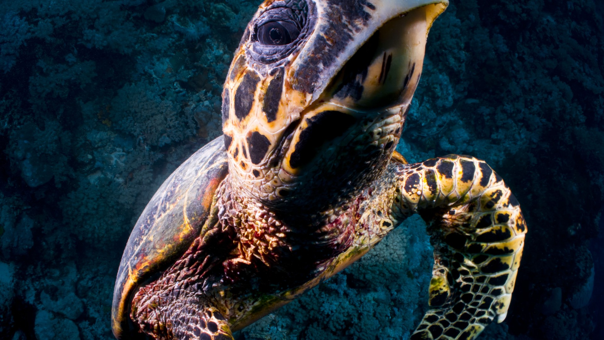 Turtle, Bloody Bay Wall, Little Cayman, Caribbean, , diving, tourism, sea, ocean, water, underwater, gopro, bottom, blue (horizontal)