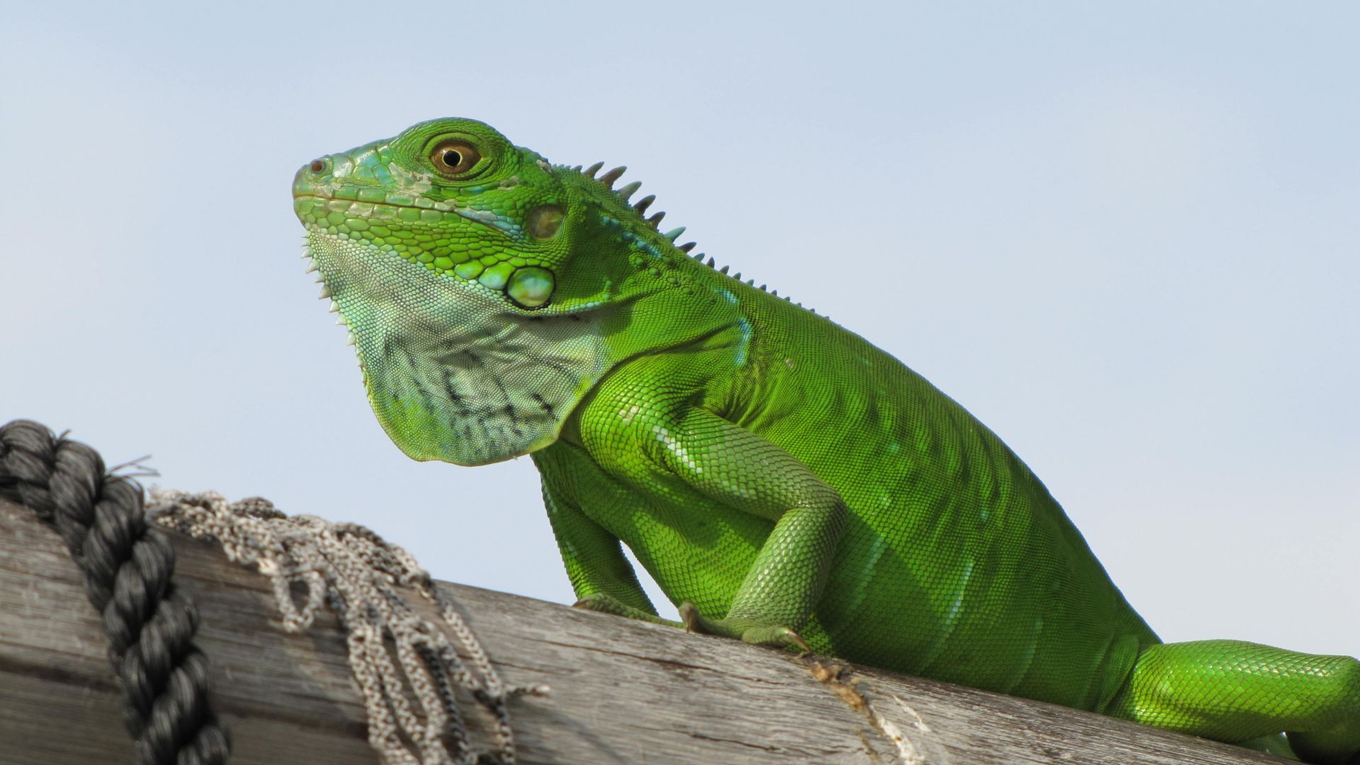 iguana, green, 4k (horizontal)