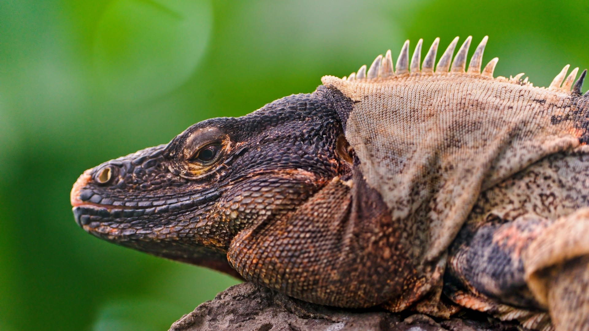 Iguana, Reptile, Lizard, Mexico, Caribbean, Island, green, nature, animal (horizontal)