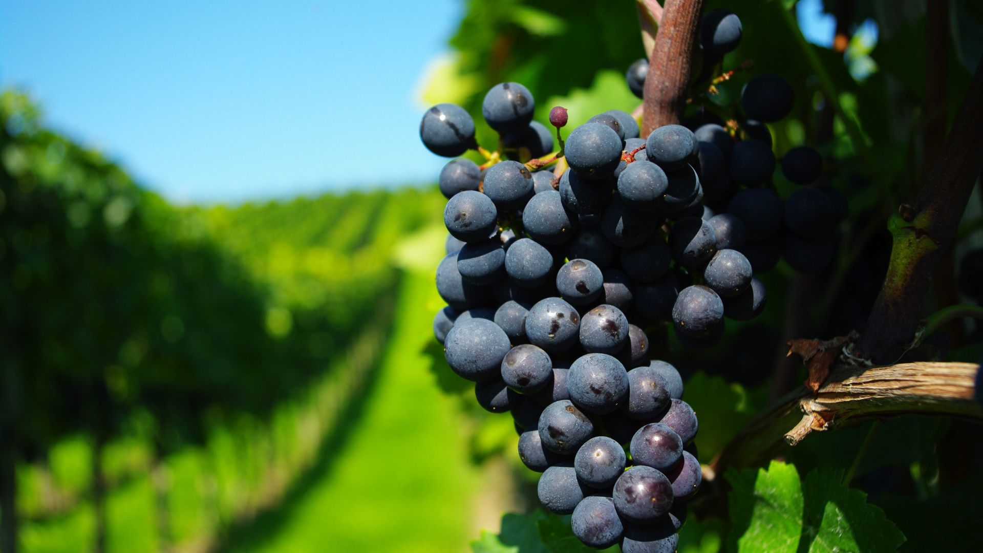 grapes, 4k (horizontal)