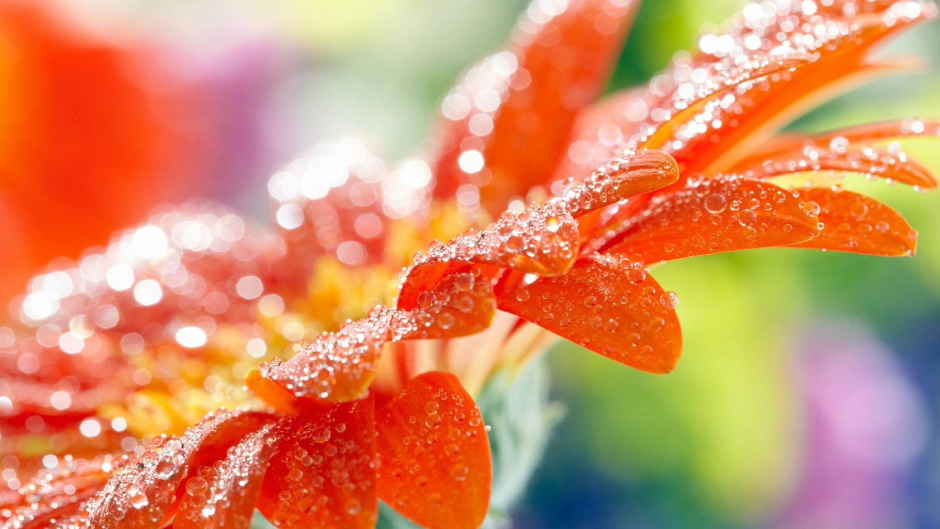 macro, flower, drops, dew, 4k (horizontal)