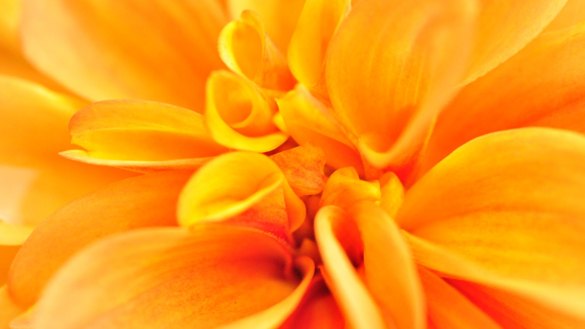 цветок макро оранжевый flower macro orange онлайн