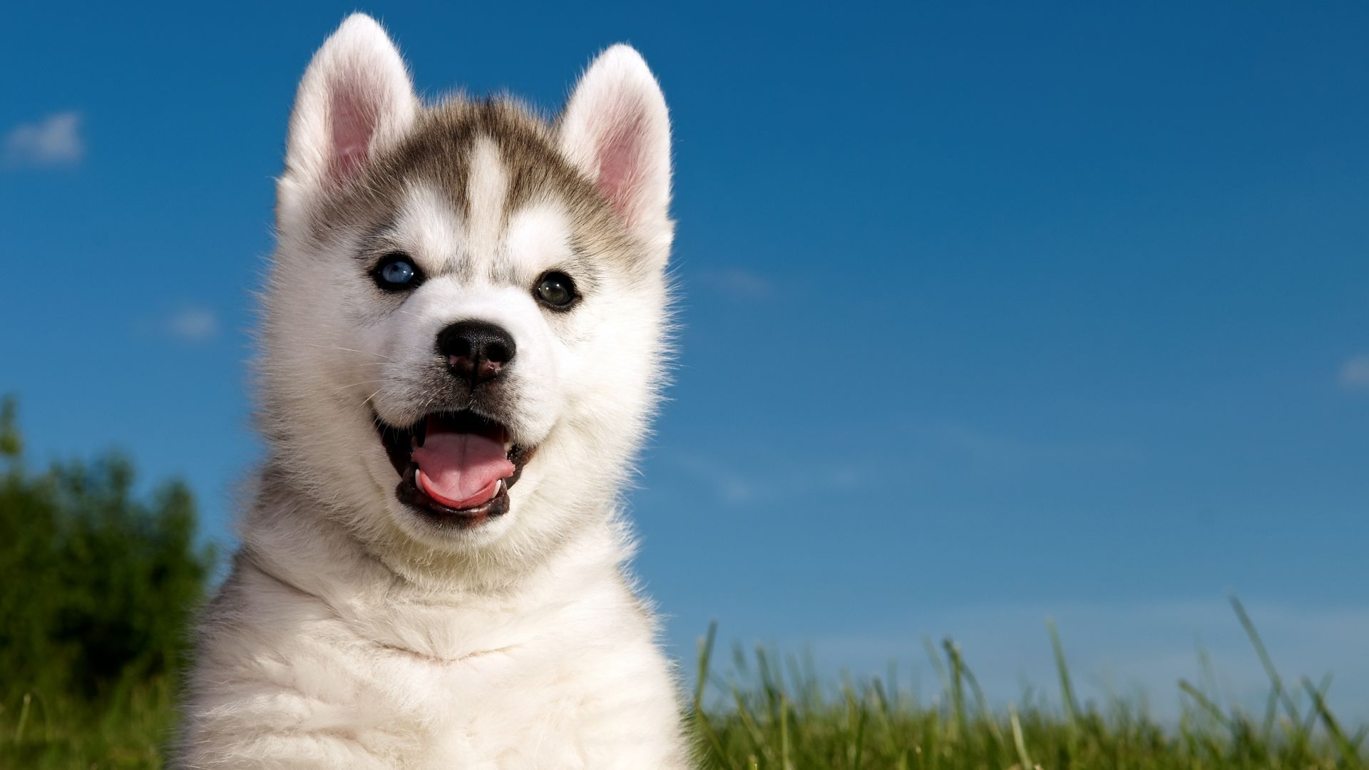 Husky, puppy, funny animals, cute animals, 4k (horizontal)