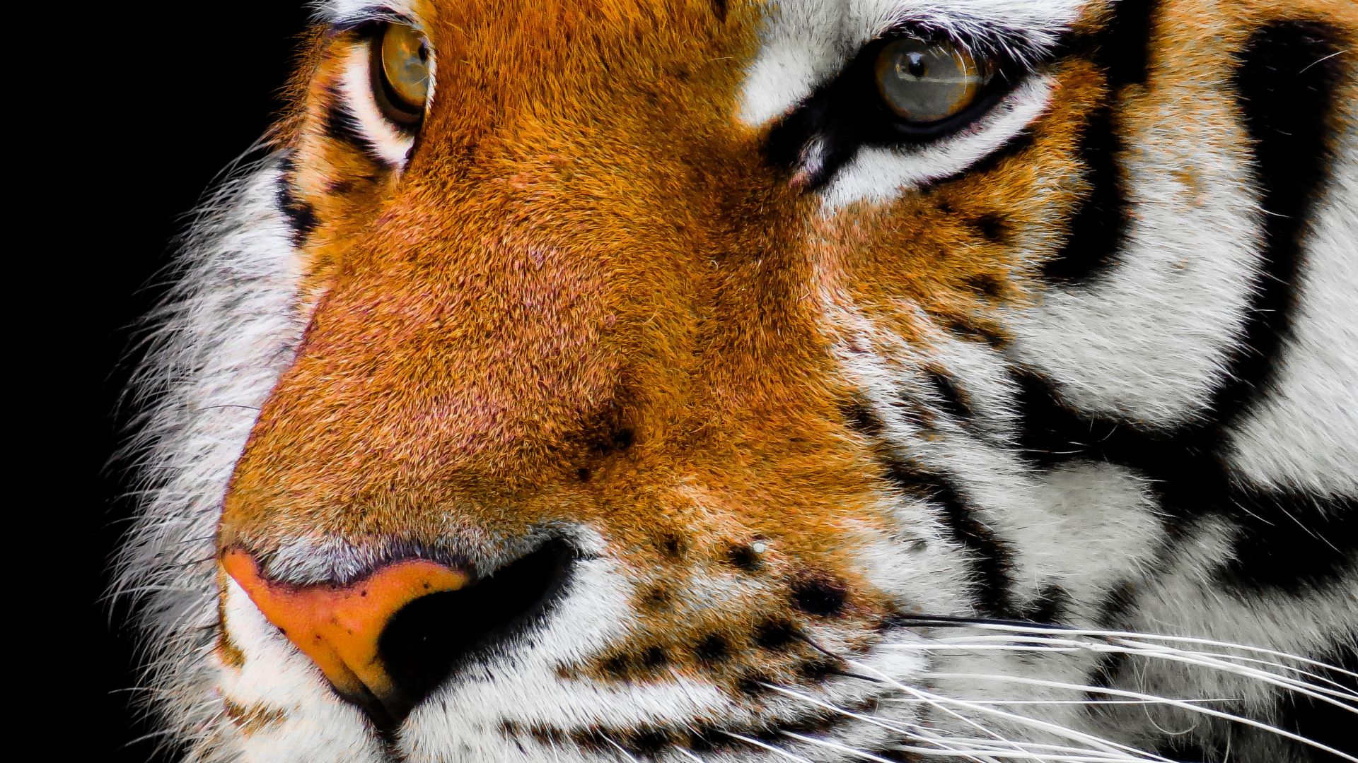 tiger, cute animals, 4k (horizontal)