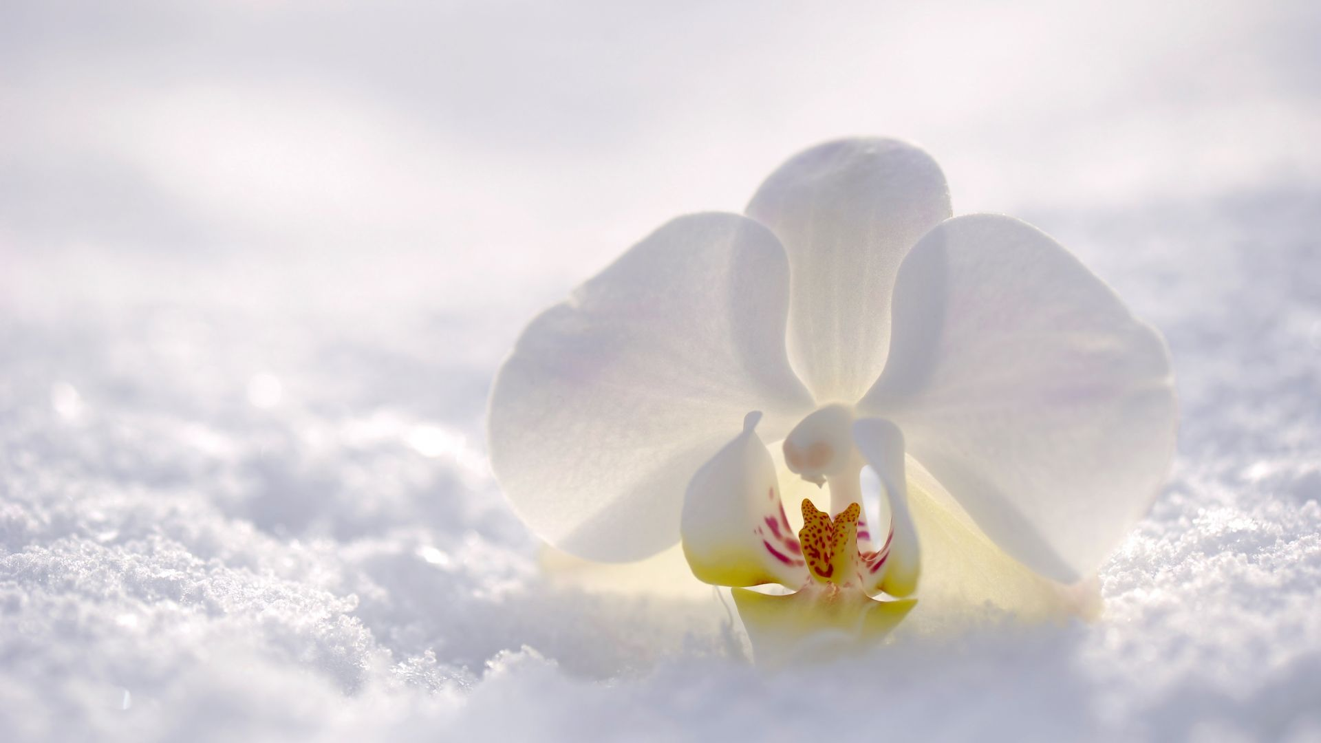 orchid, flower, snow, winter, white, 4k (horizontal)