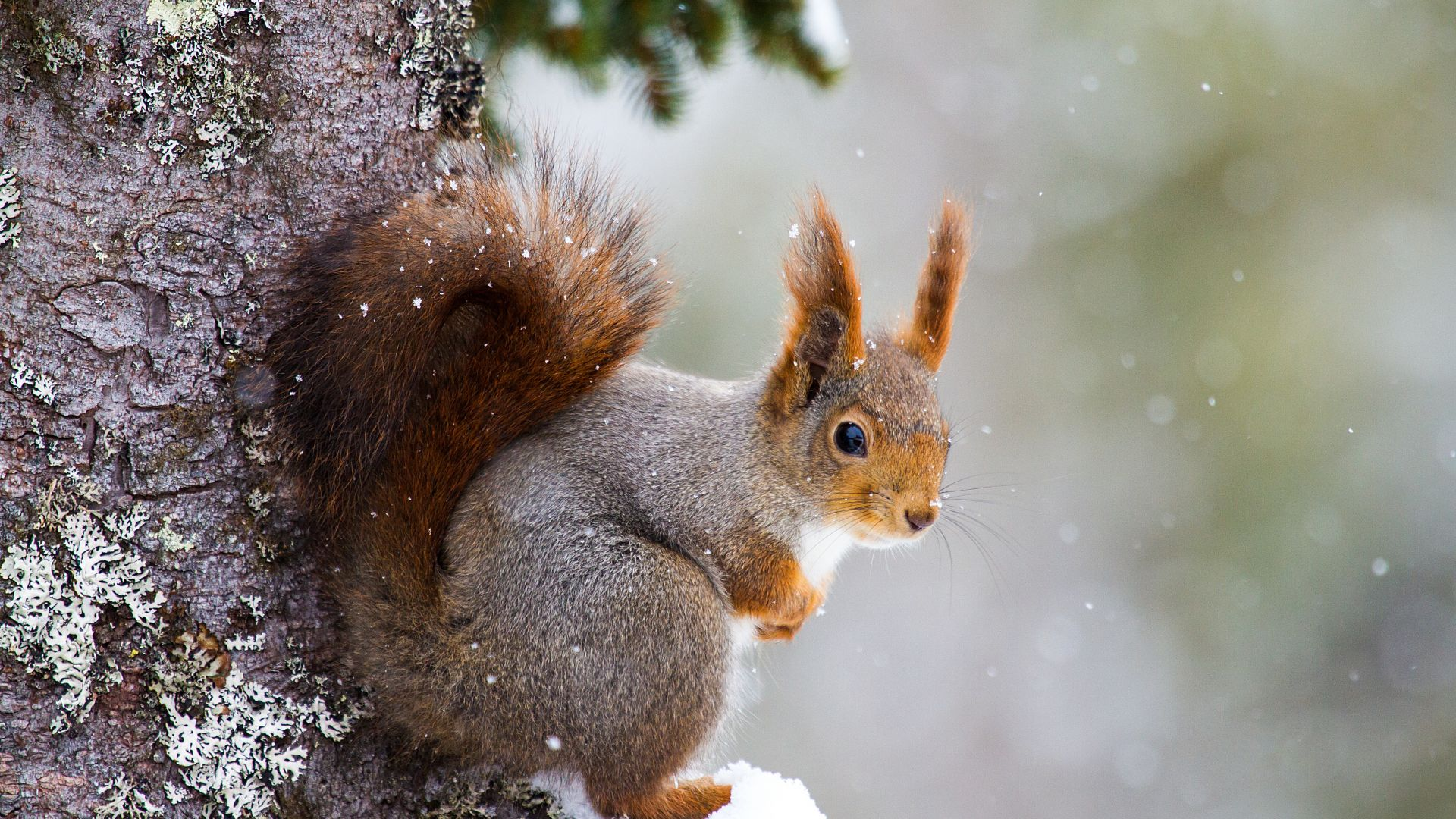 squirrel, cute animals, winter, 5k (horizontal)