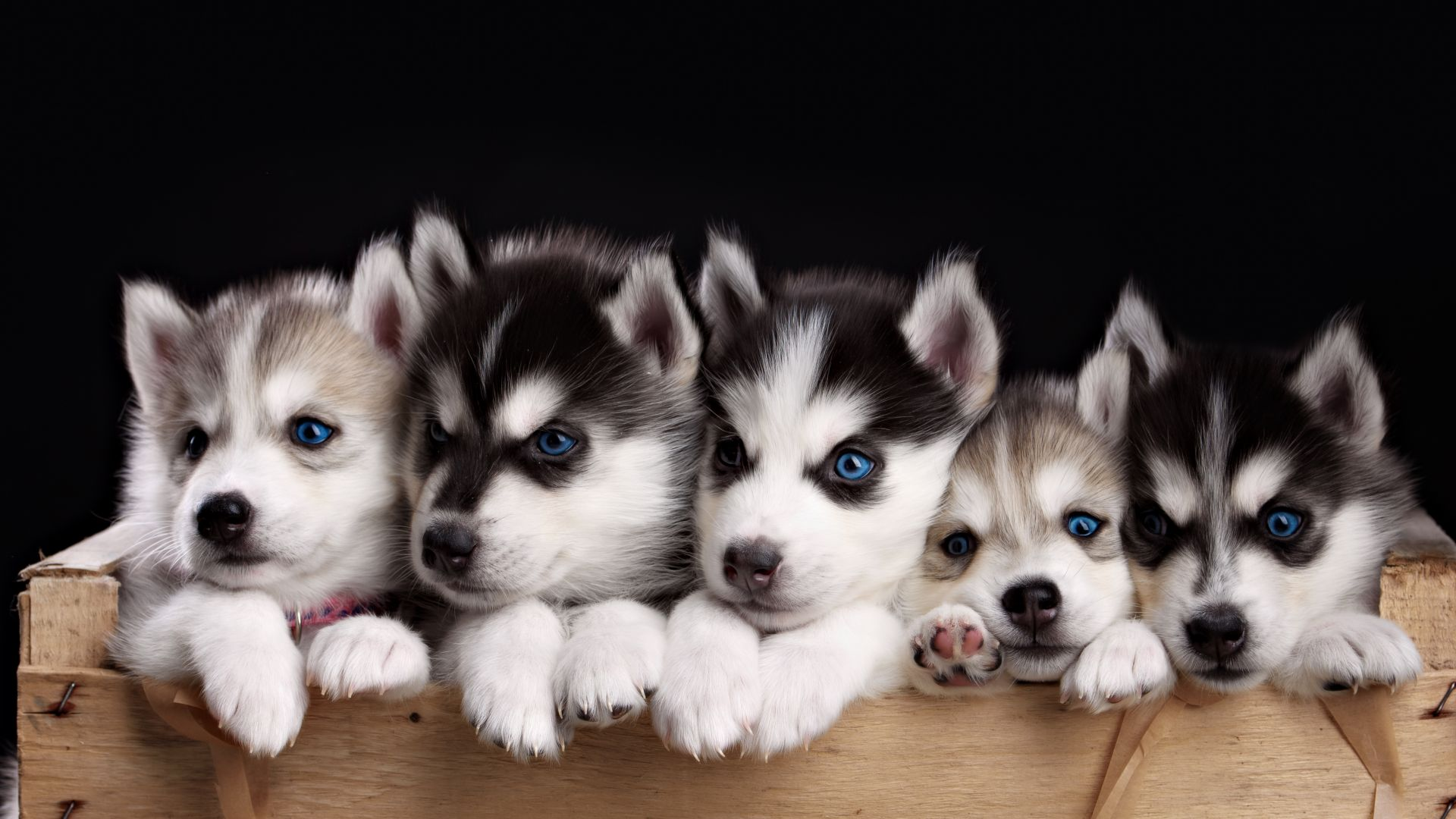 Husky, puppy, cute animals, 4k (horizontal)