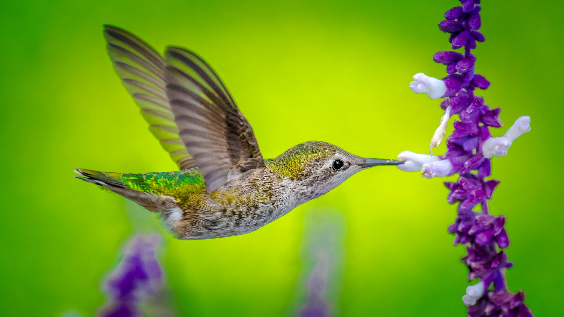 Hummingbird, bird, flower, 5k (horizontal)