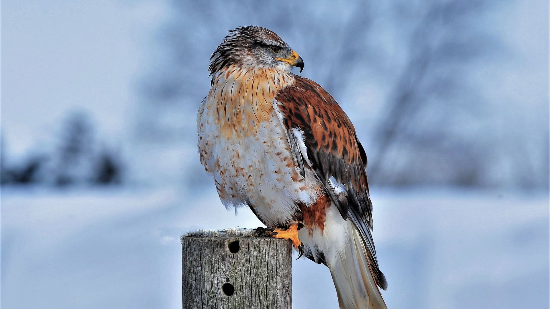 Ferruginous Hawk, bird, winter, snow, 4K (horizontal)