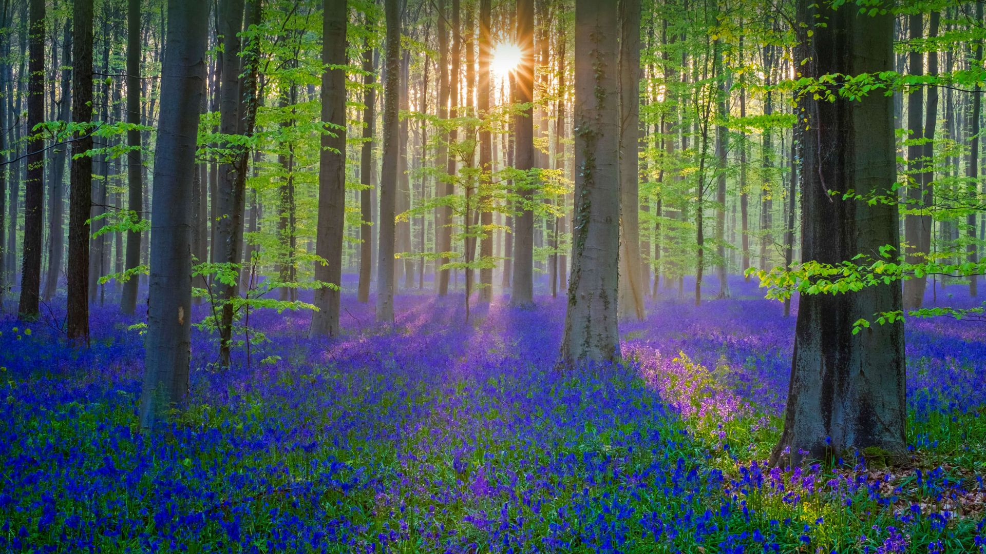 bluebell, flower, forest, sun, light, 4K (horizontal)