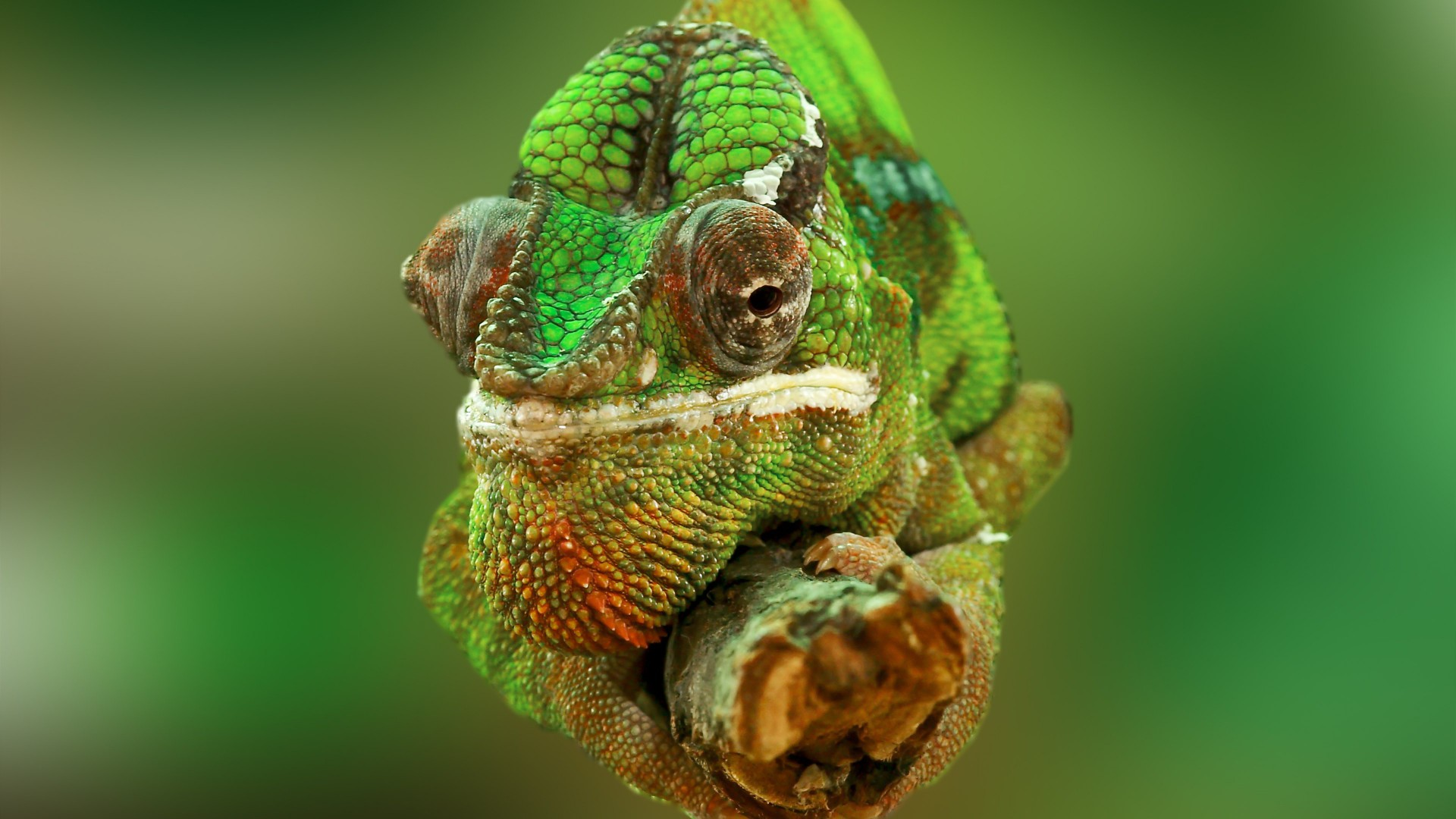 Chameleon, color change, lizard, Veiled chameleon, Panther chameleon, Jackson's chameleon, macro photo (horizontal)