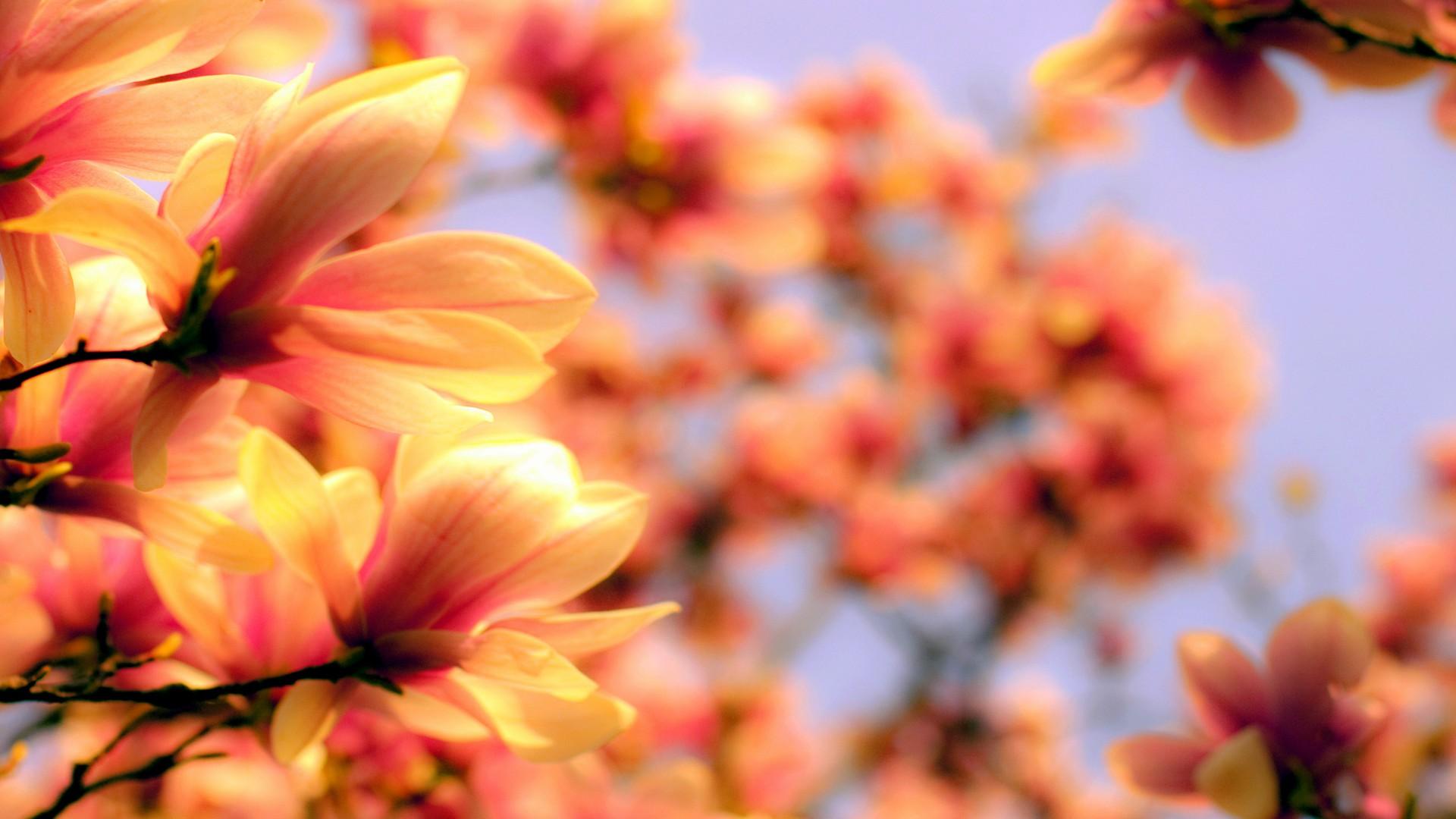 Wallpaper Magnolia 4k Hd Wallpaper Asia Spring Flower Nature 3790