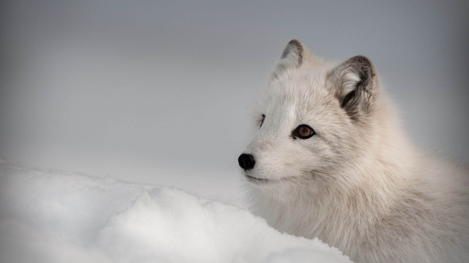Arctic fox, Northern Hemisphere, animal (horizontal)