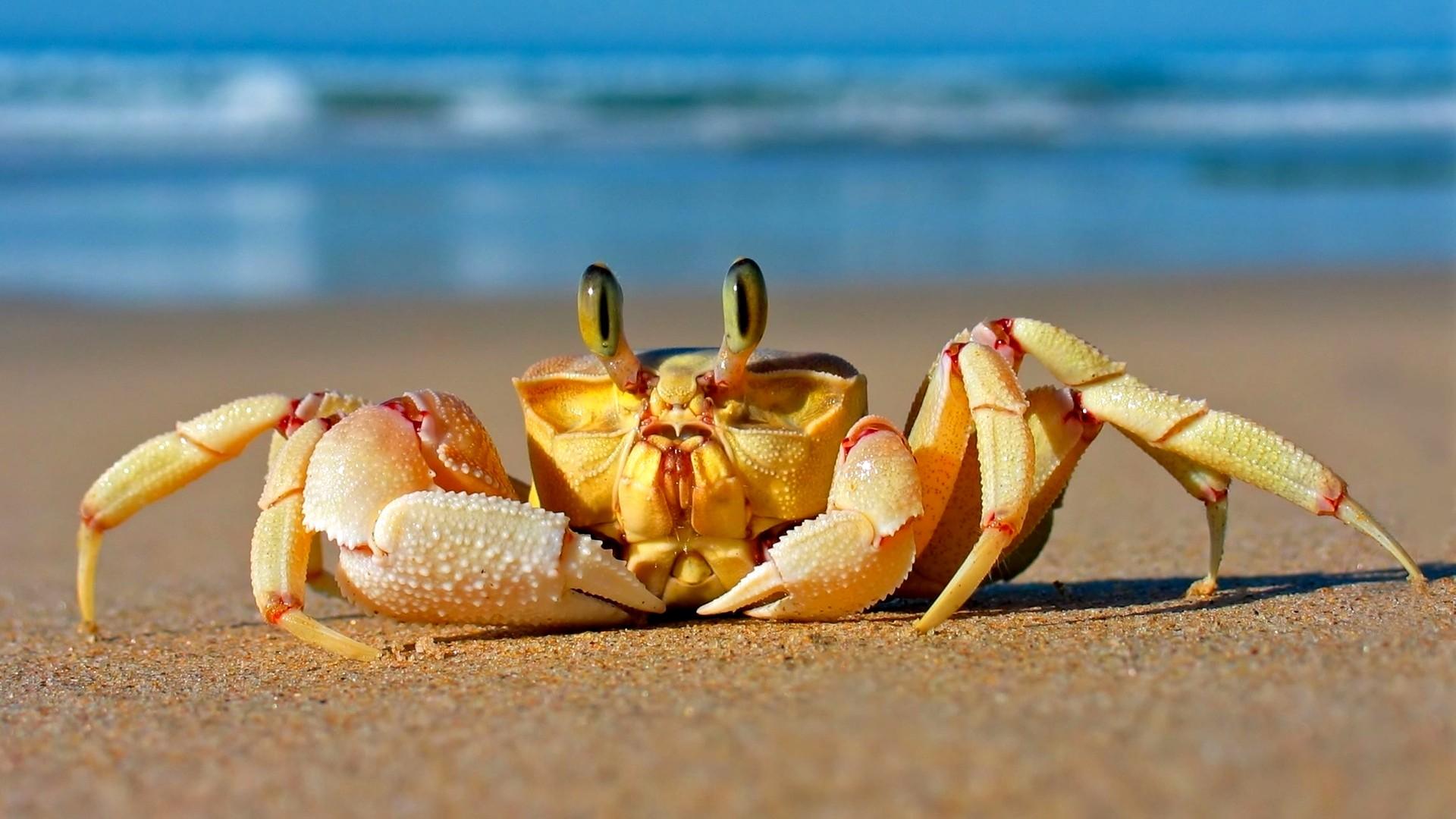 Wallpaper Crab, Mediterranean sea, sand, funny, cute animals, Animals #4077