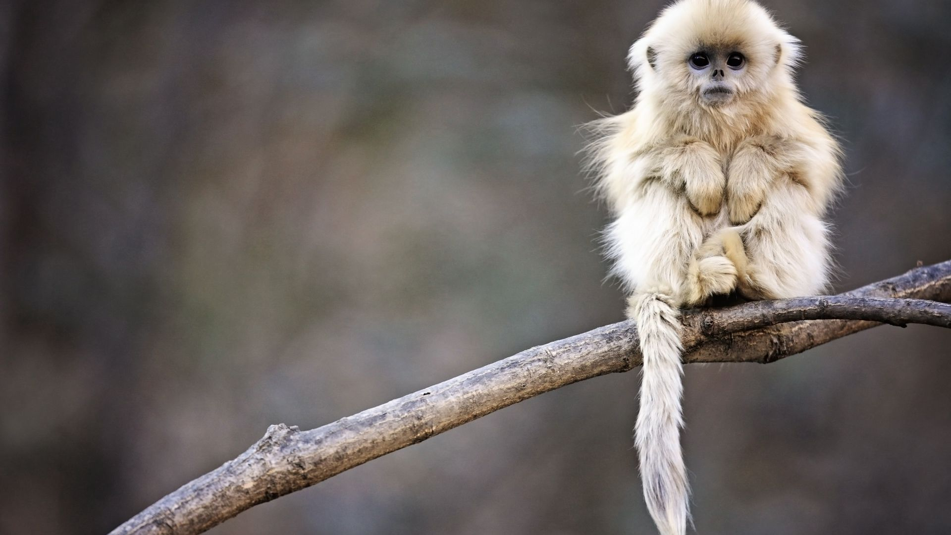 Snub-nosed monkey, monkey, Roxelana, Wolong National Nature Reserve, China, animals (horizontal)