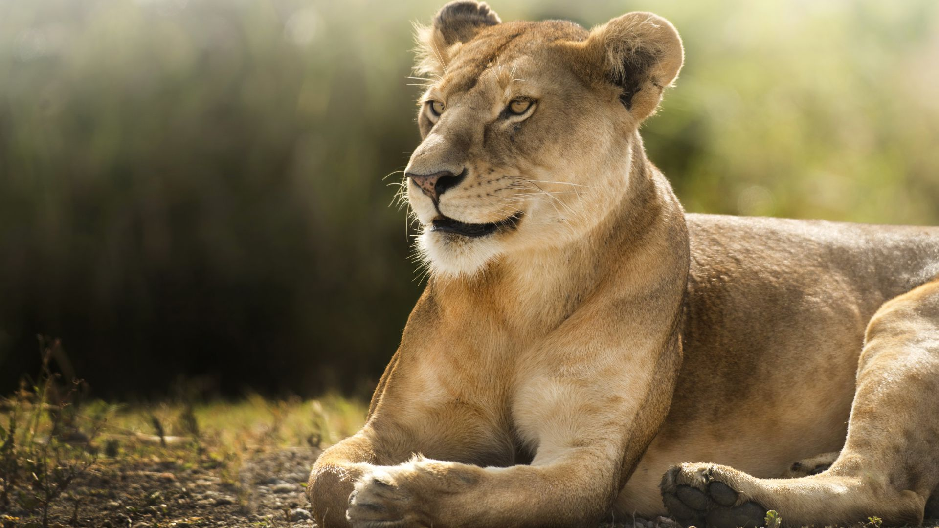 Lion, savanna, cute animals (horizontal)
