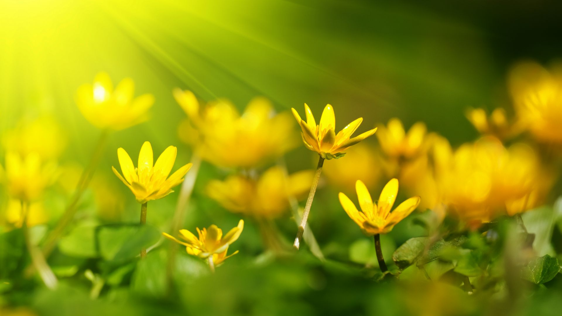 Flowers, 5k, 4k wallpaper, 8k, sunray, yellow, green grass (horizontal)