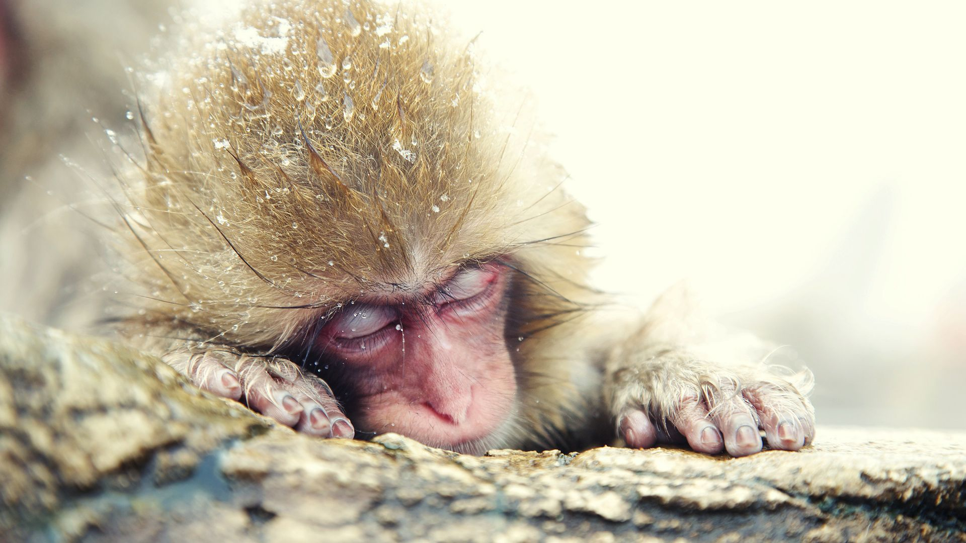 Japanese macaque, monkey, cute animals (horizontal)