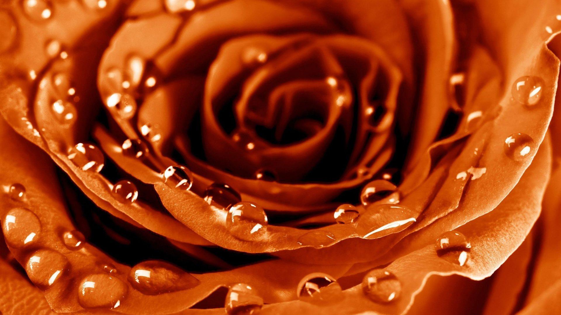 Wallpaper Rose 4k Hd Wallpaper Drops Dew Flower Nature 4700