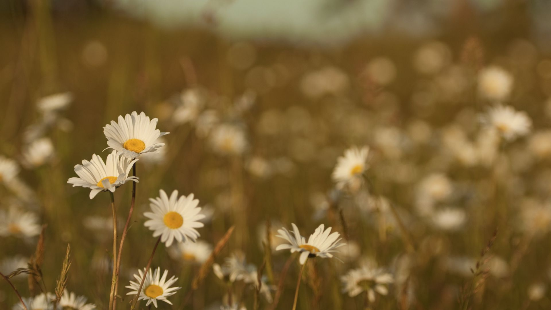 Daisies, 4k, HD wallpaper, Field (horizontal)