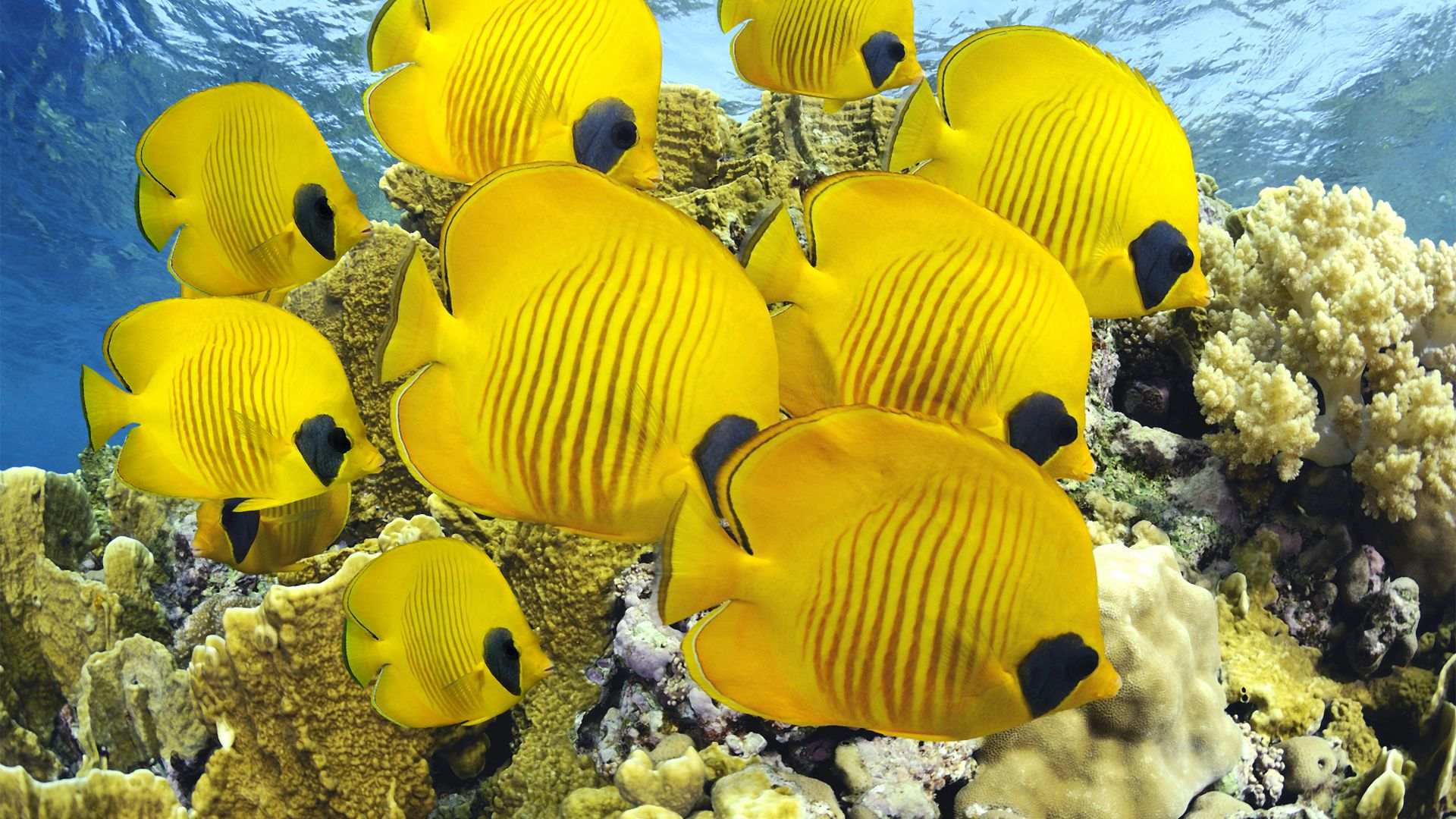 Butterflyfish, underwater, coral, Best Diving Sites (horizontal)
