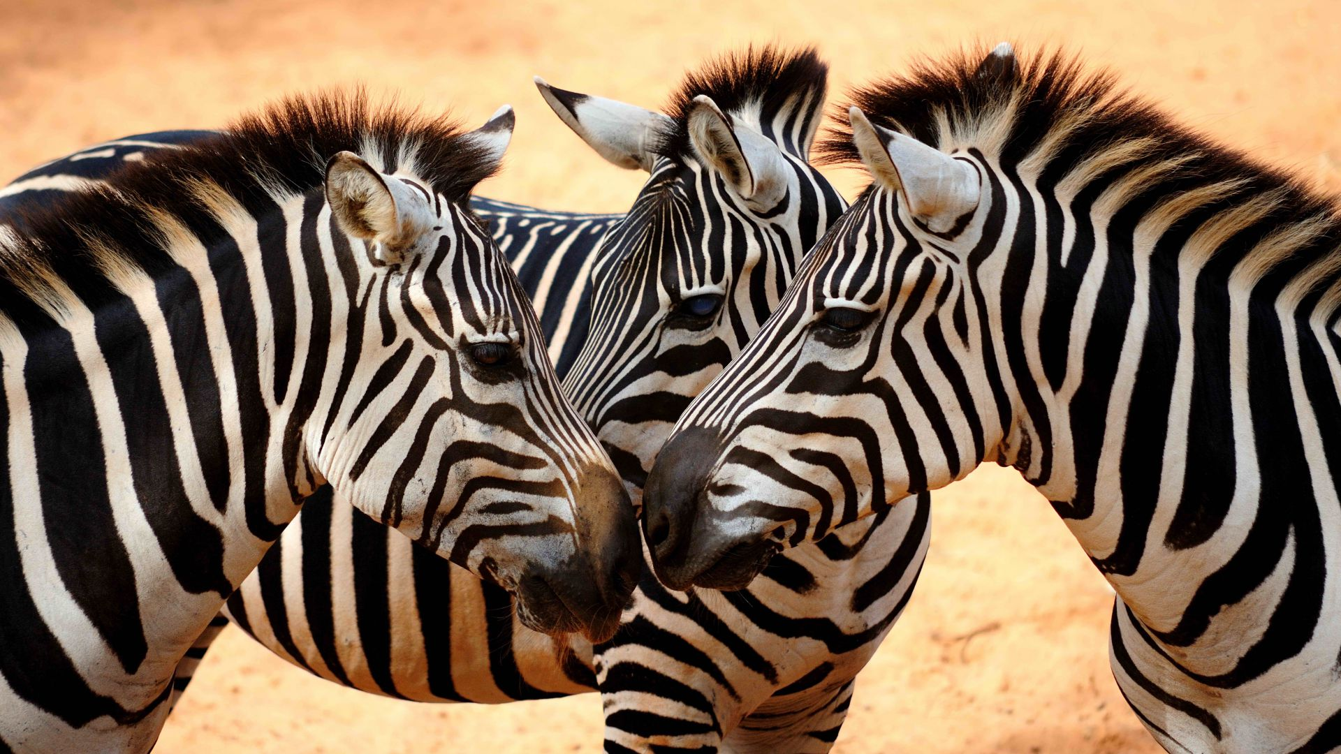 Zebra, couple, cute animals (horizontal)