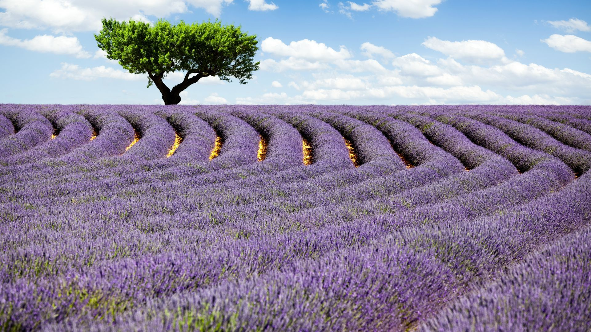 Lavender field, 4k, HD wallpaper, Provence, France, Meadows, lavender, tree, sky (horizontal)