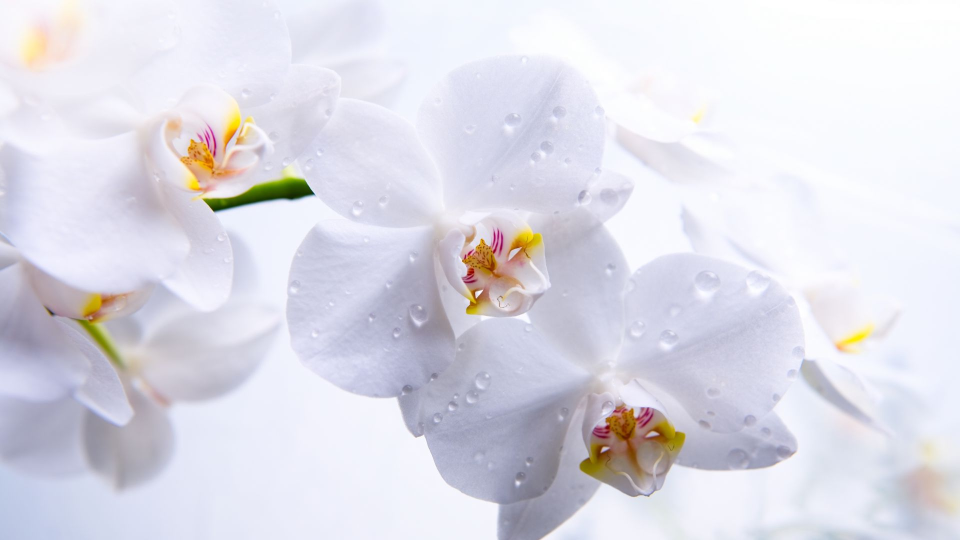 Orchid, 5k, 4k wallpaper, flowers, macro, white (horizontal)